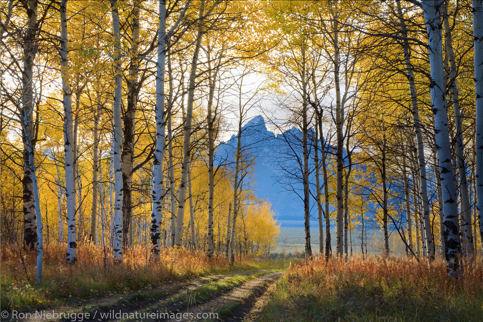 Fall colors in Bridger-Teton National Forest looking at the Tetons in the Grand Teton National Park, Wyoming.