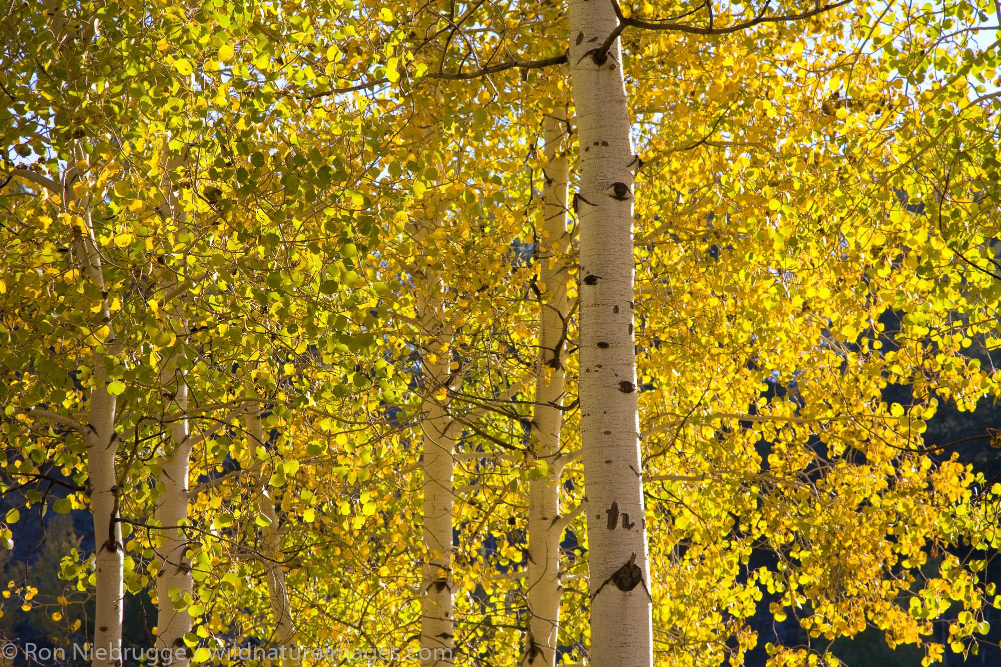Fall trees near Oxbow Bend, Grand Teton National Park, Wyoming.