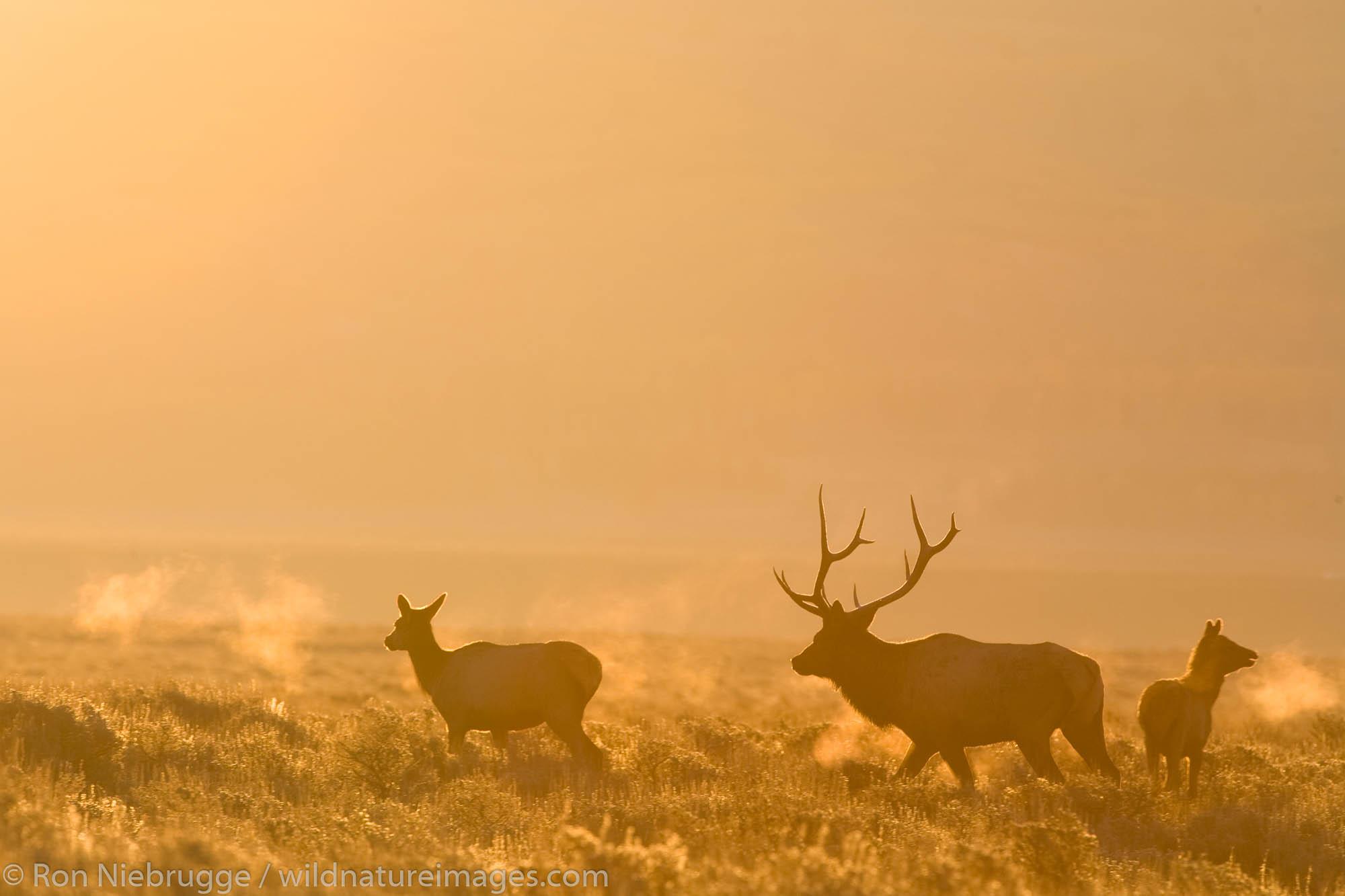 Elk, Grand Teton National Park, Wyoming.