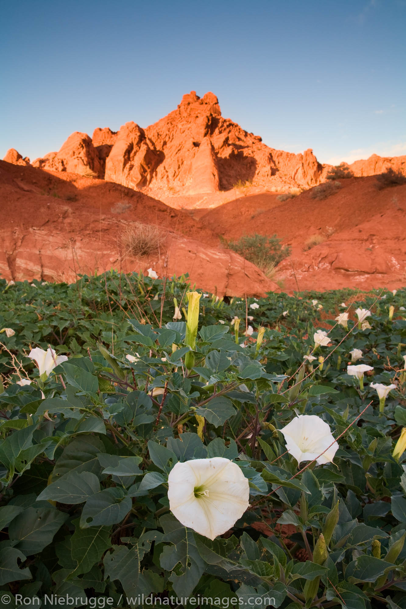 Sacred datura wildflowers in the Valley of Fire State Park, Nevada