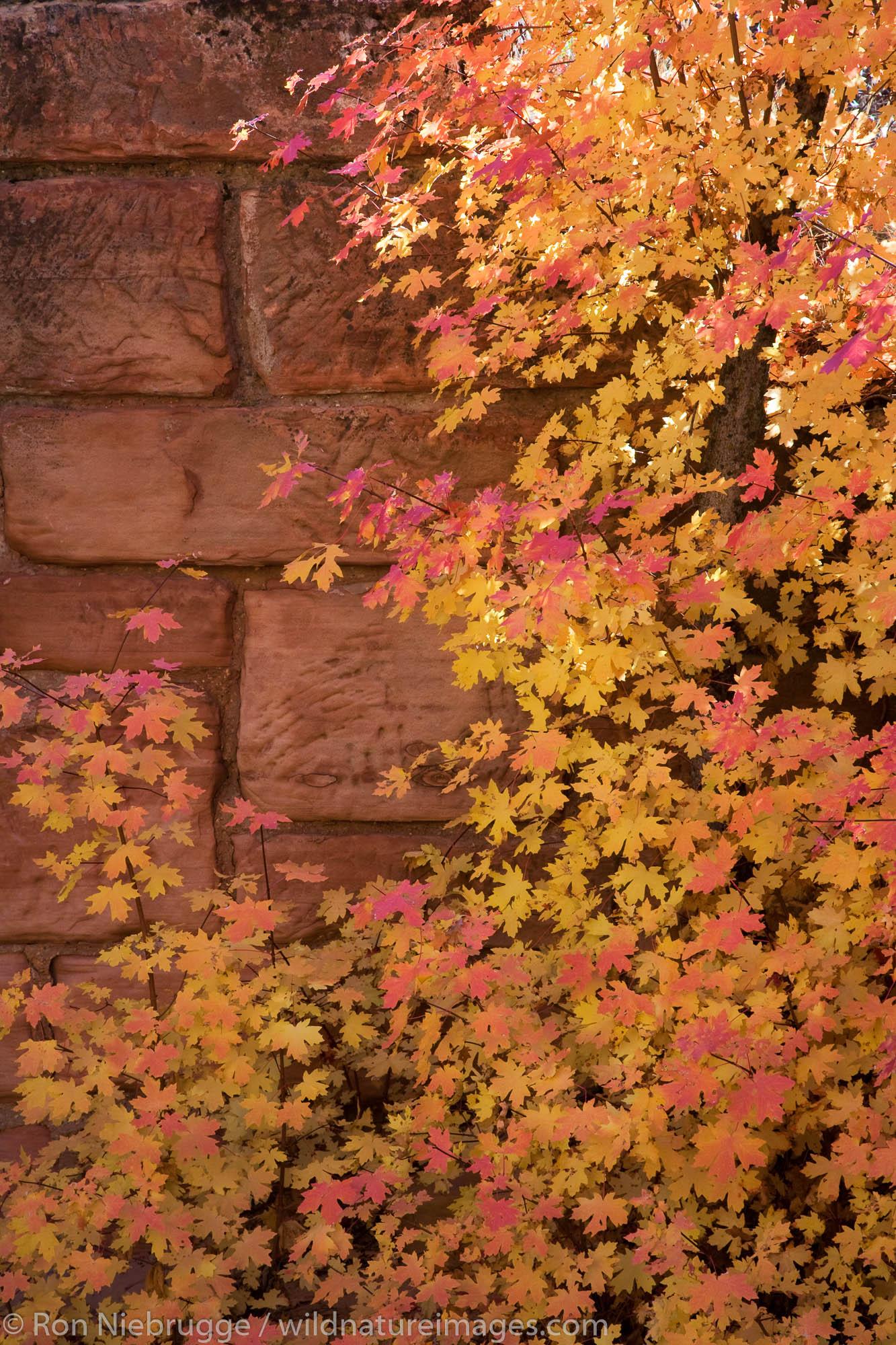 Autumn colors near a historic bridge, Zion National Park, Utah.