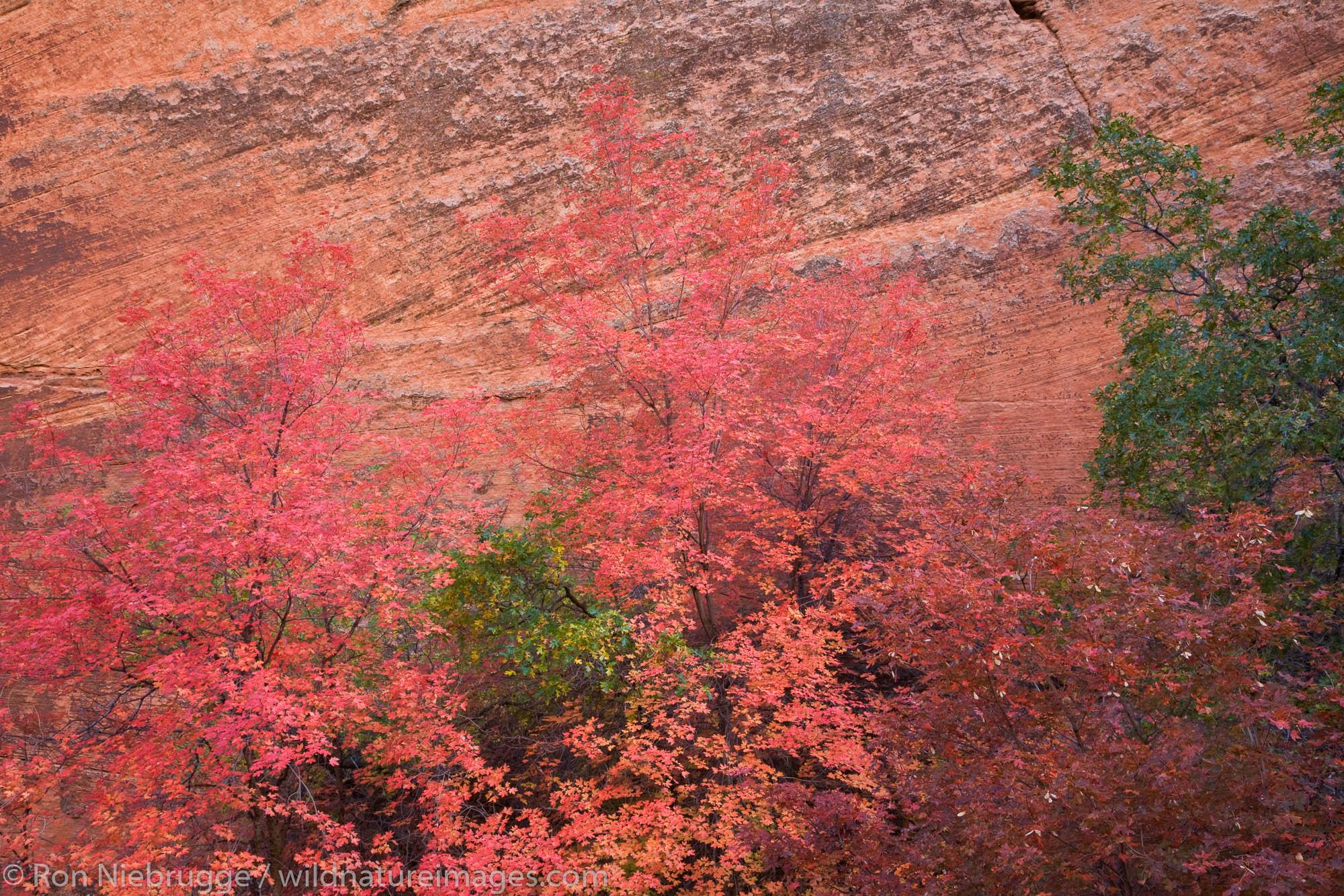 Autumn colors, Zion National Park, Utah.