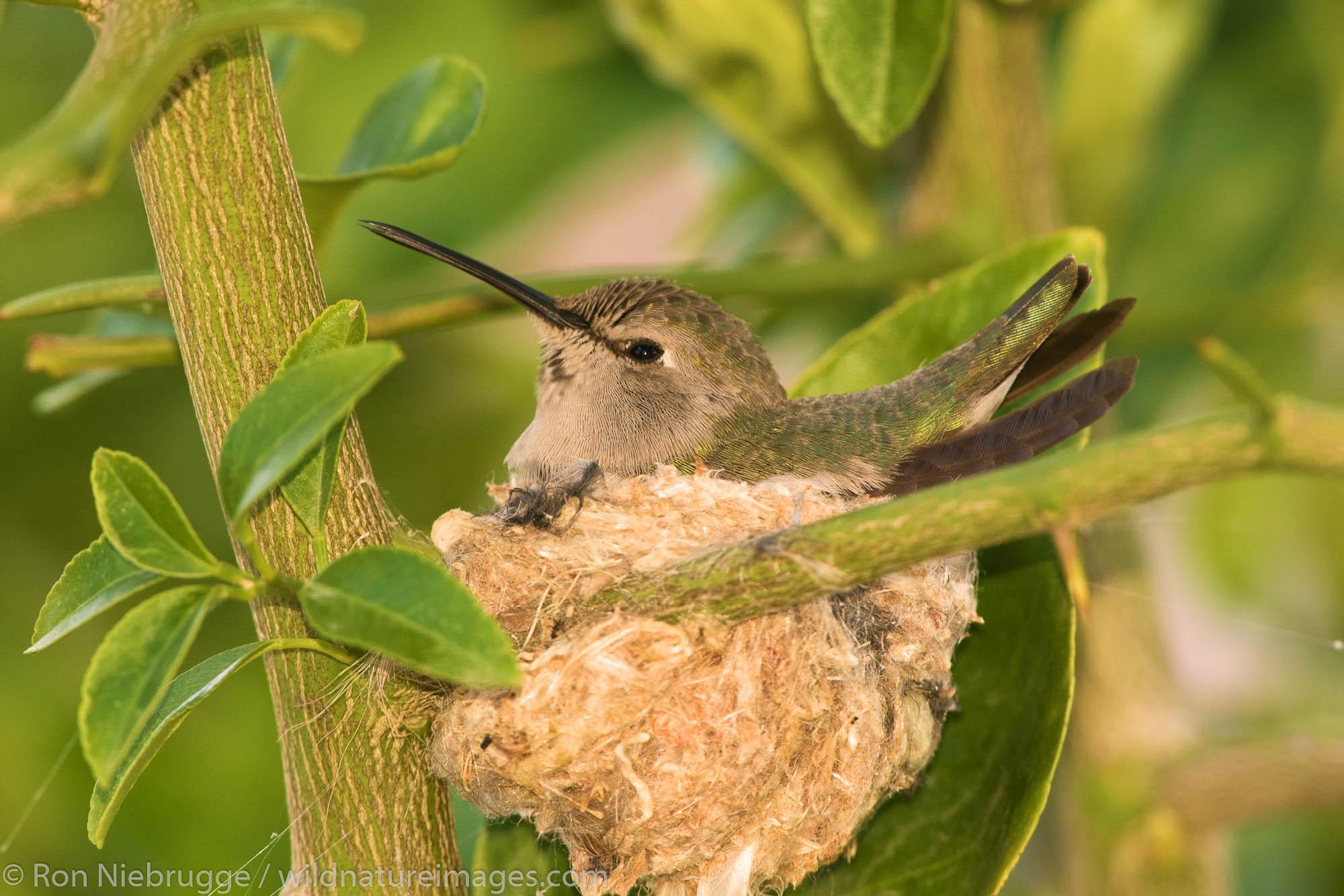 Anna's Hummingbird (Calypte anna) at a nest in Anza-Borrego Desert State Park, California.