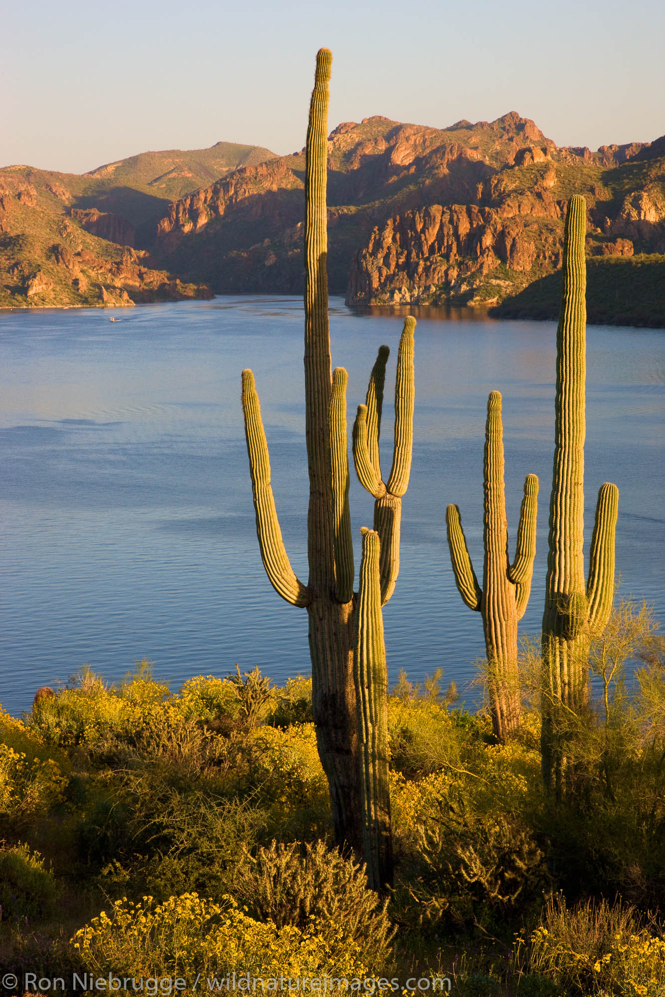 Wildflowers and Saguaro Cactus at Saguaro Lake in the Tonto National Forest, near Fountain Hills, outside of Phoenix, Arizona...
