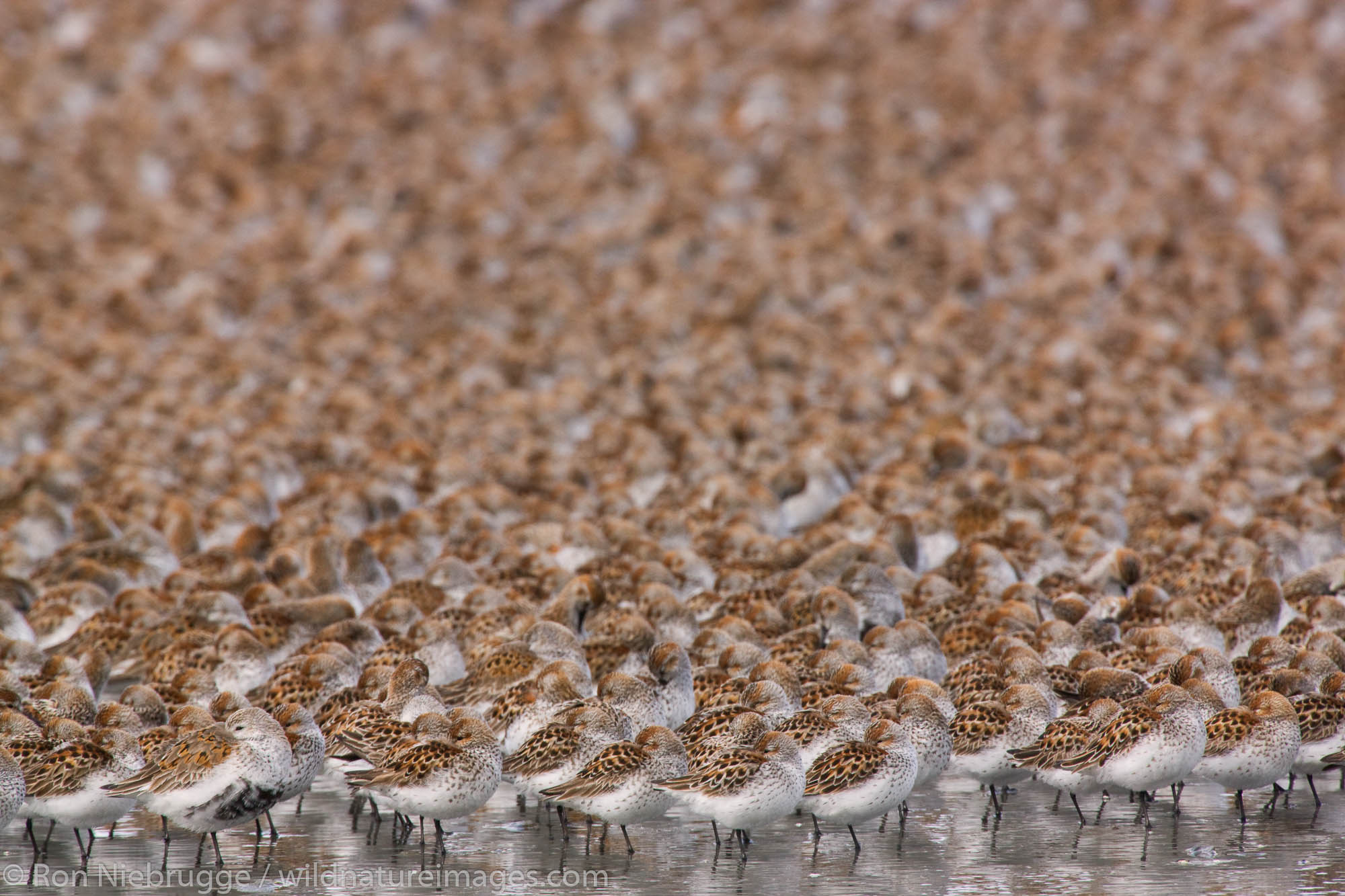 Shorebird migration on the Copper River Delta, Chugach National Forest, Cordova, Alaska.