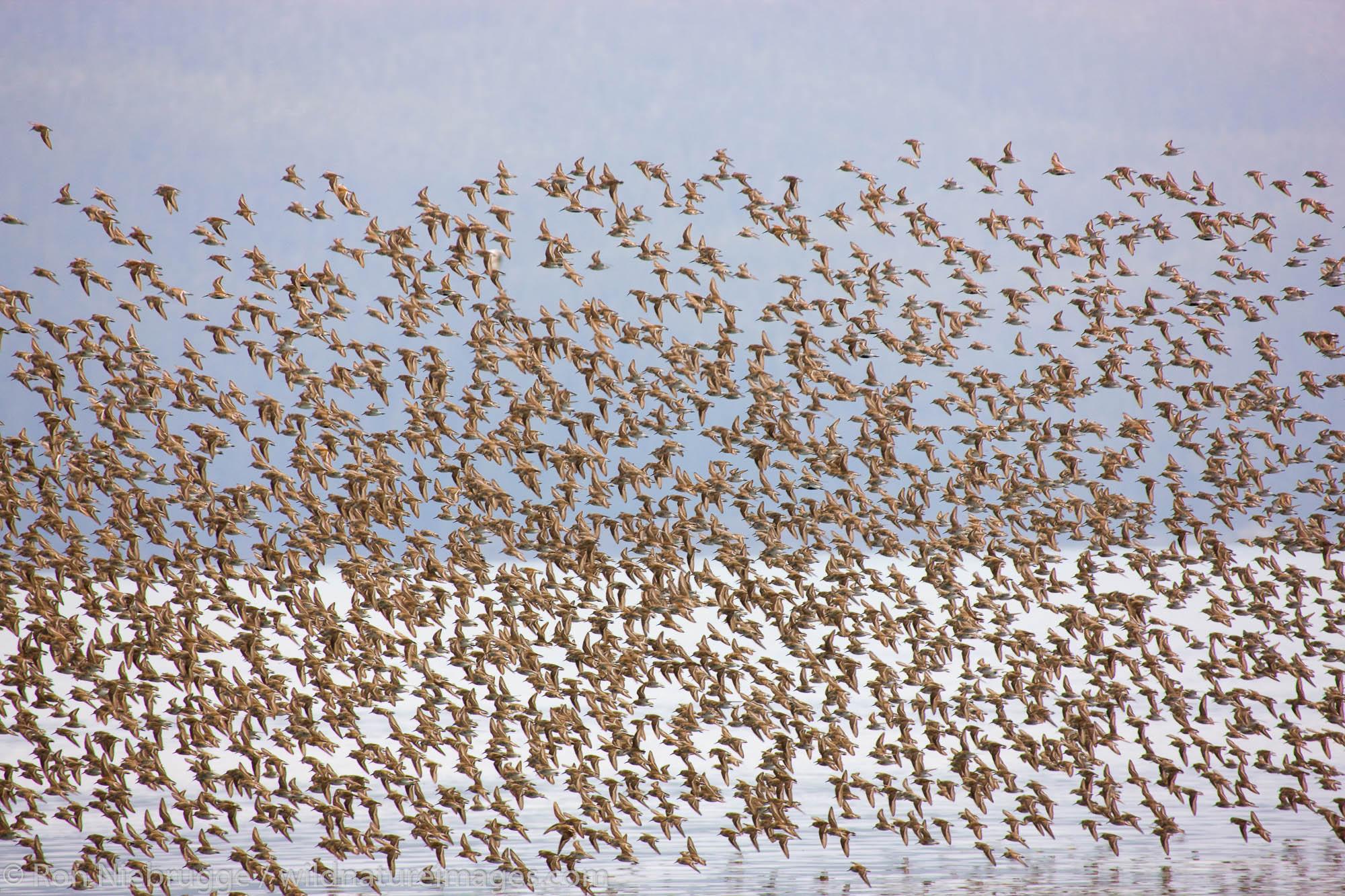 Shorebird migration on the Copper River Delta, Chugach National Forest, Cordova, Alaska