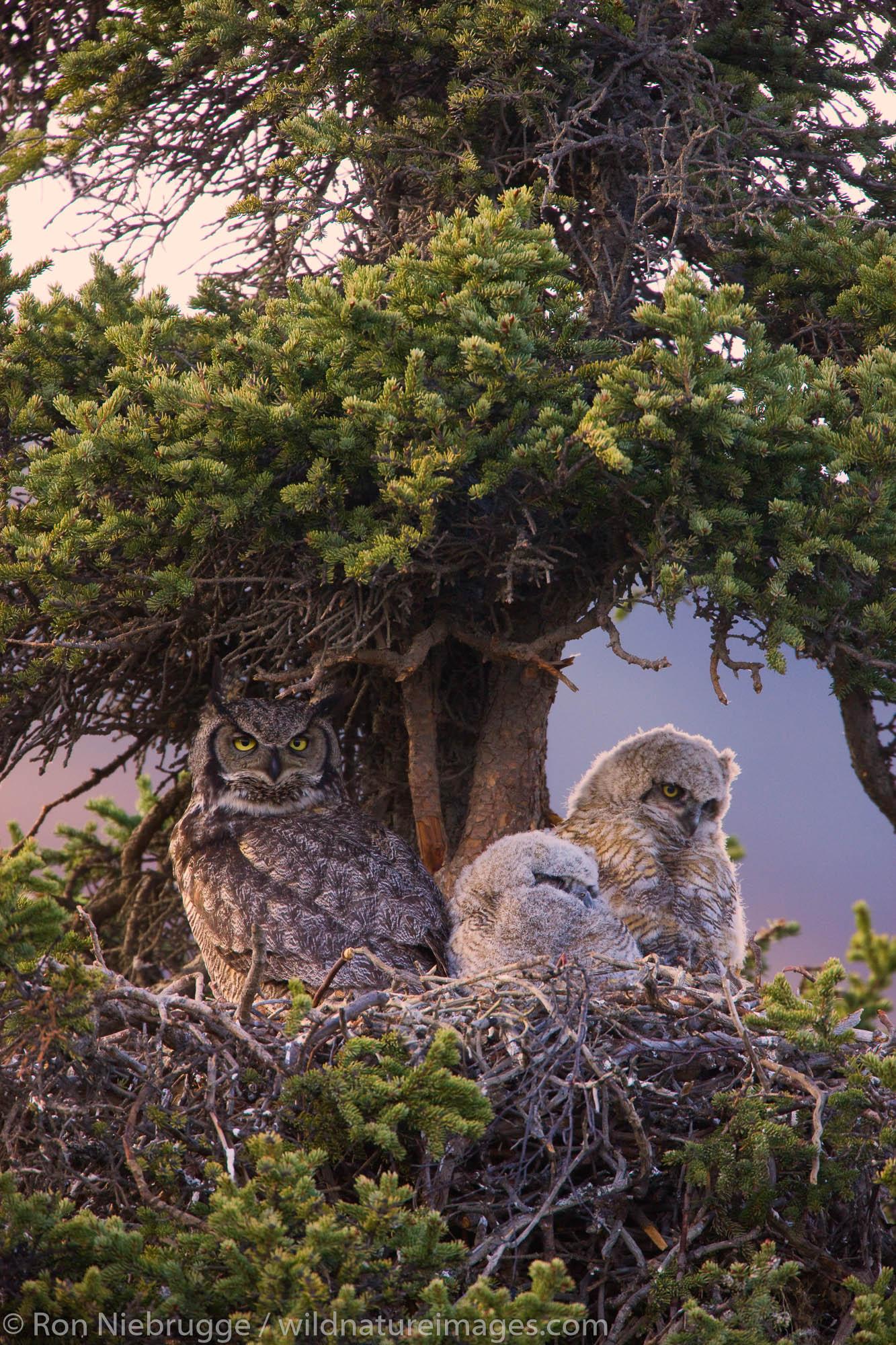 Great Horned Owl nest, Denali National Park, Alaska.