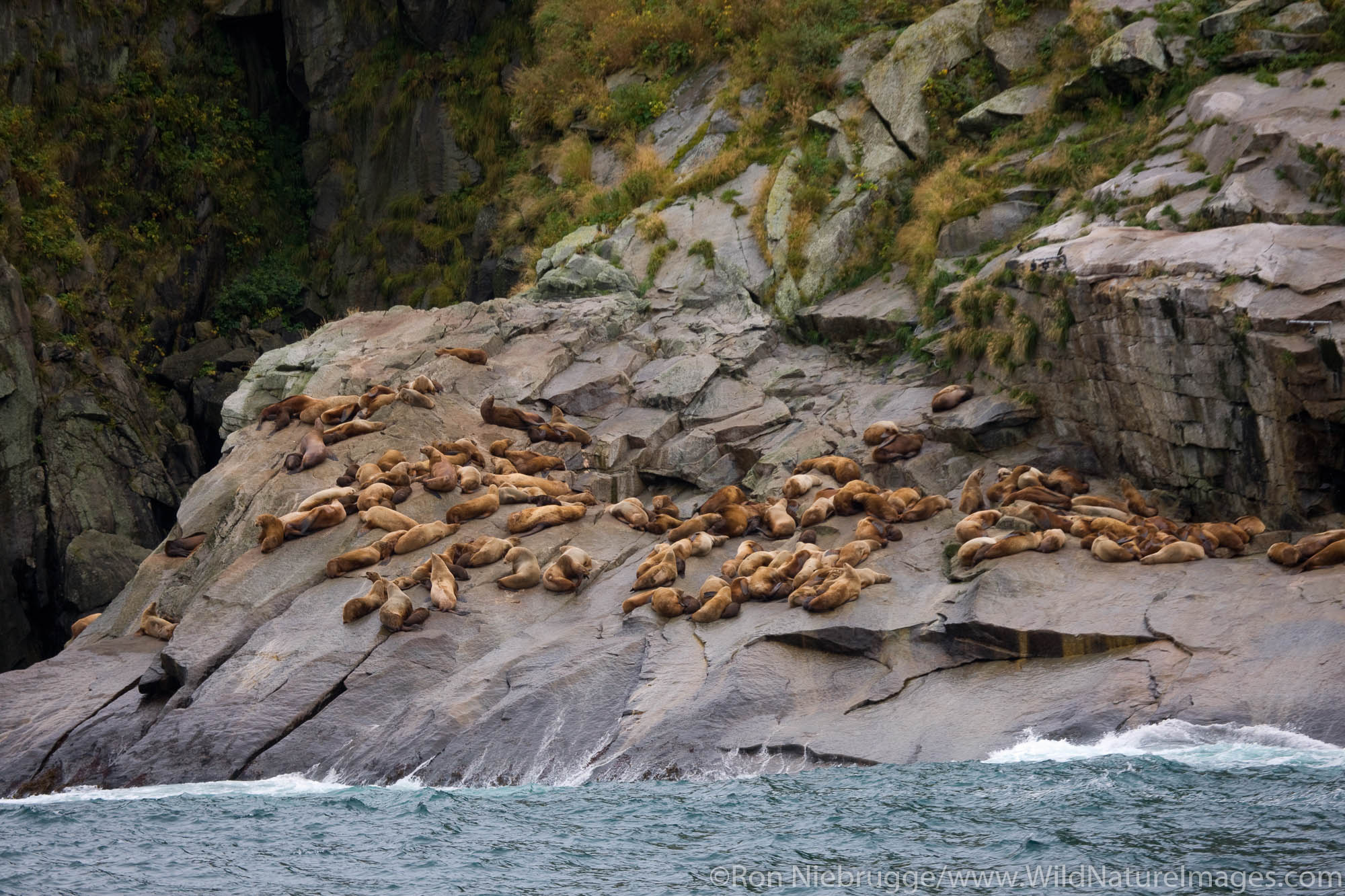 A rookery of Steller (Northern) Sea Lions on the Chiswell Islands, part of the Alaska Maritime National Wildlife Refuge, Kenai...