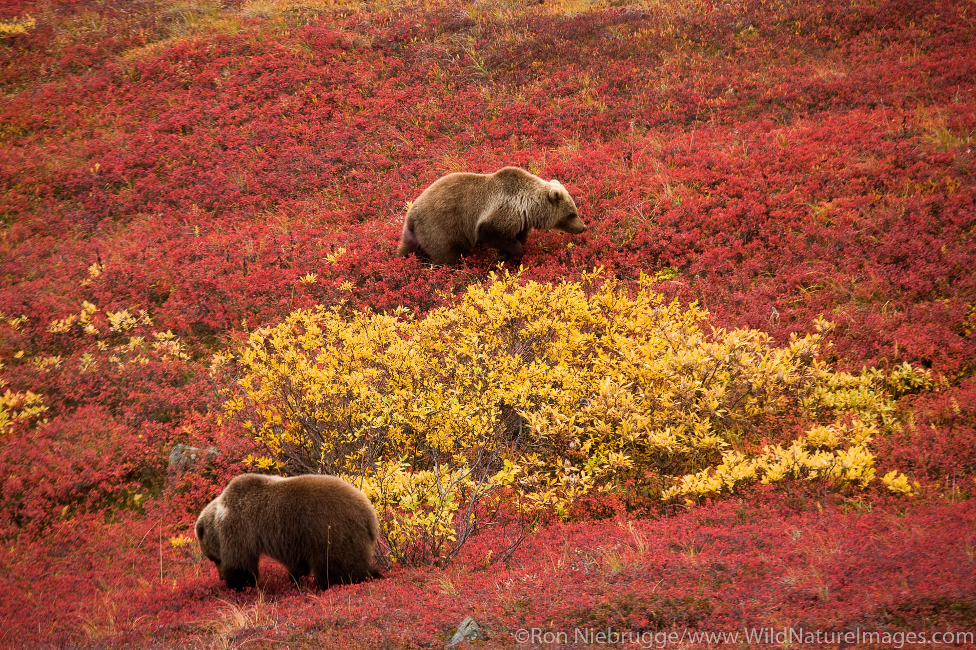 Denali National Park, Alaska, photo, picture, bear, photos, photo