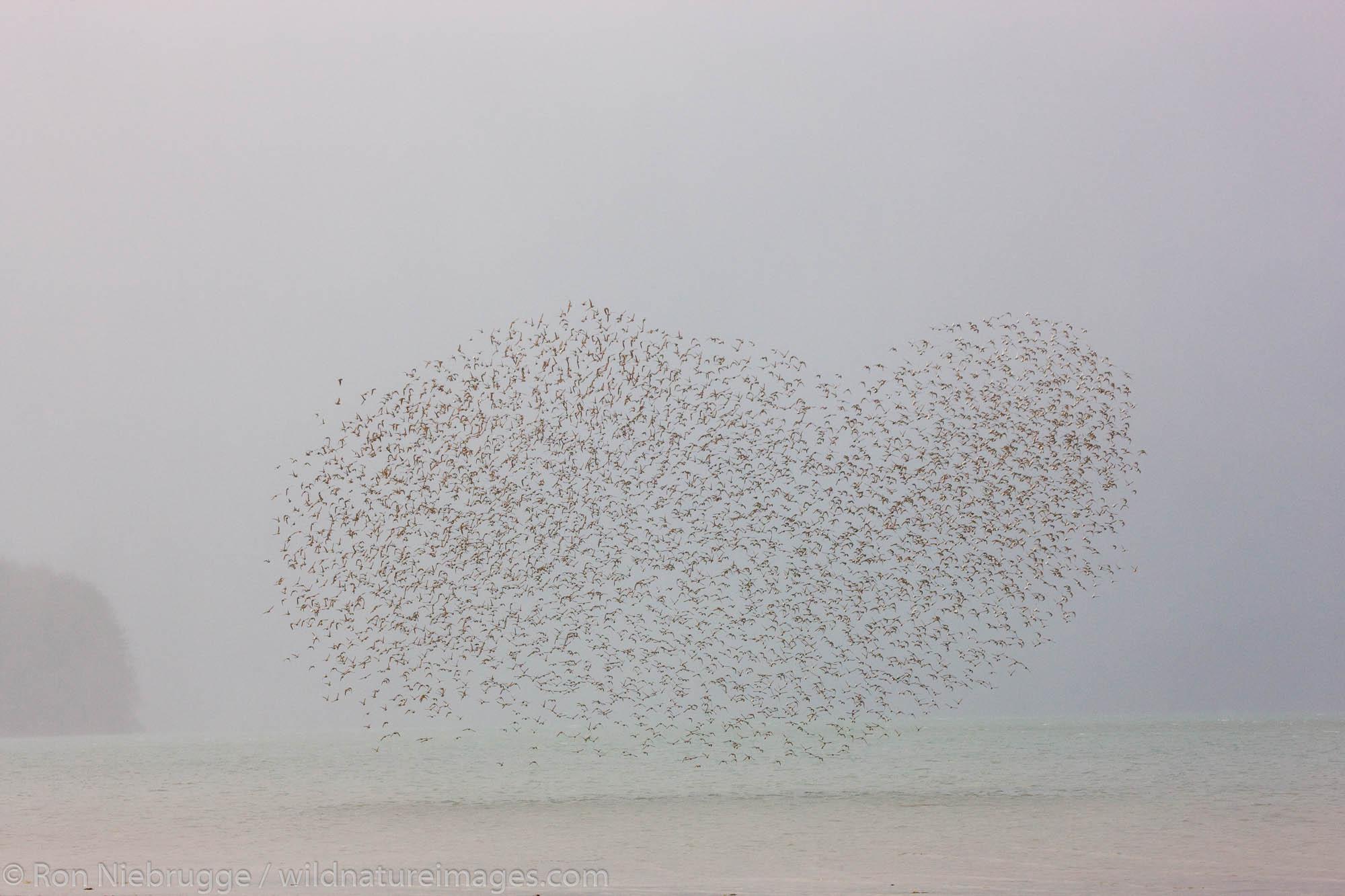 Shorebird migration primarily western sandpipers, Copper River Delta, near Cordova, Alaska.