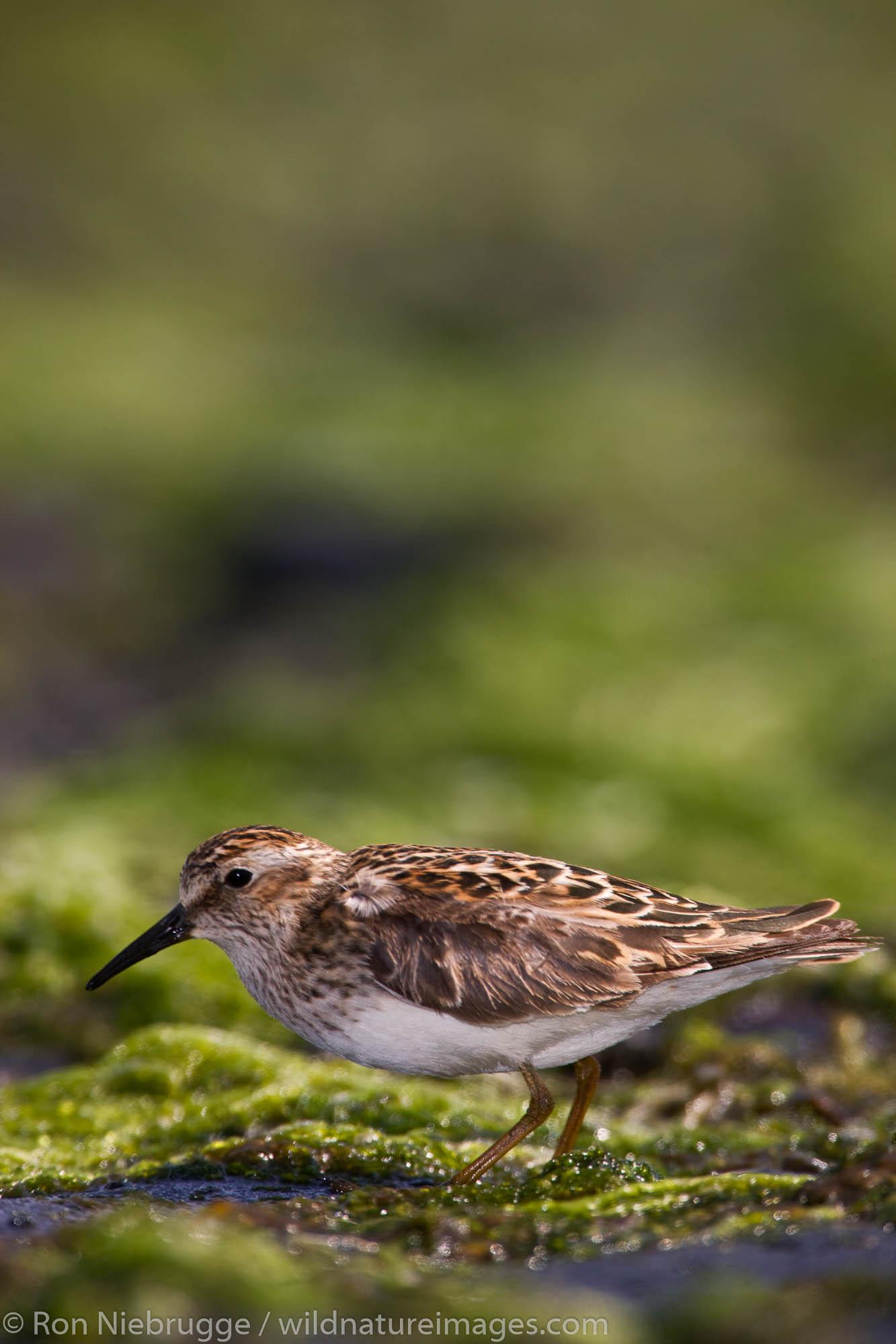 Least Sandpiper shorebird during the spring migration to Alaska, near Seward, Alaska.