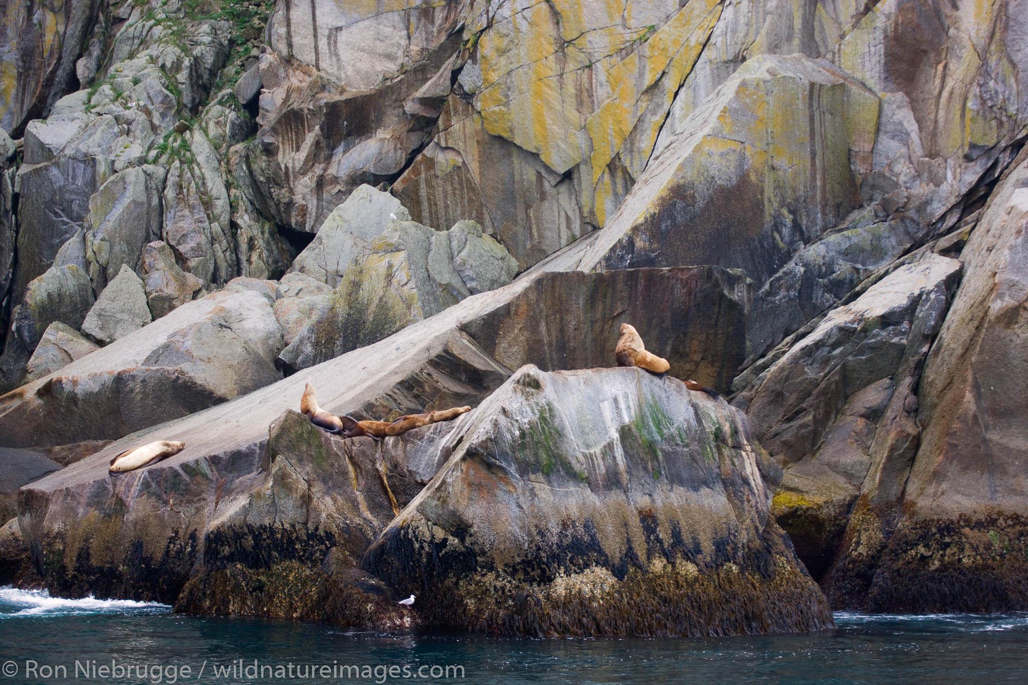 Steller Sea Lions on a haul-out, Kenai Fjords National Park, Alaska.