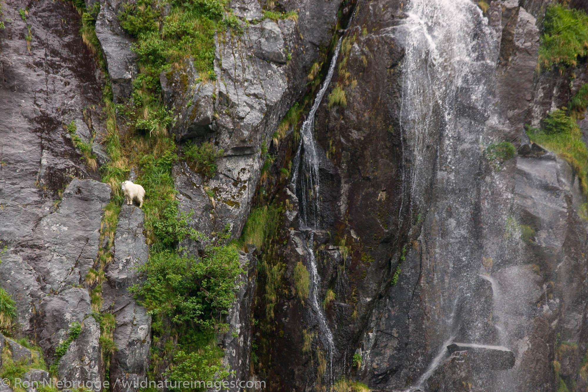Mountain Goat in Cataract Cove, Harris Bay, Kenai Fjords National Park, Alaska.