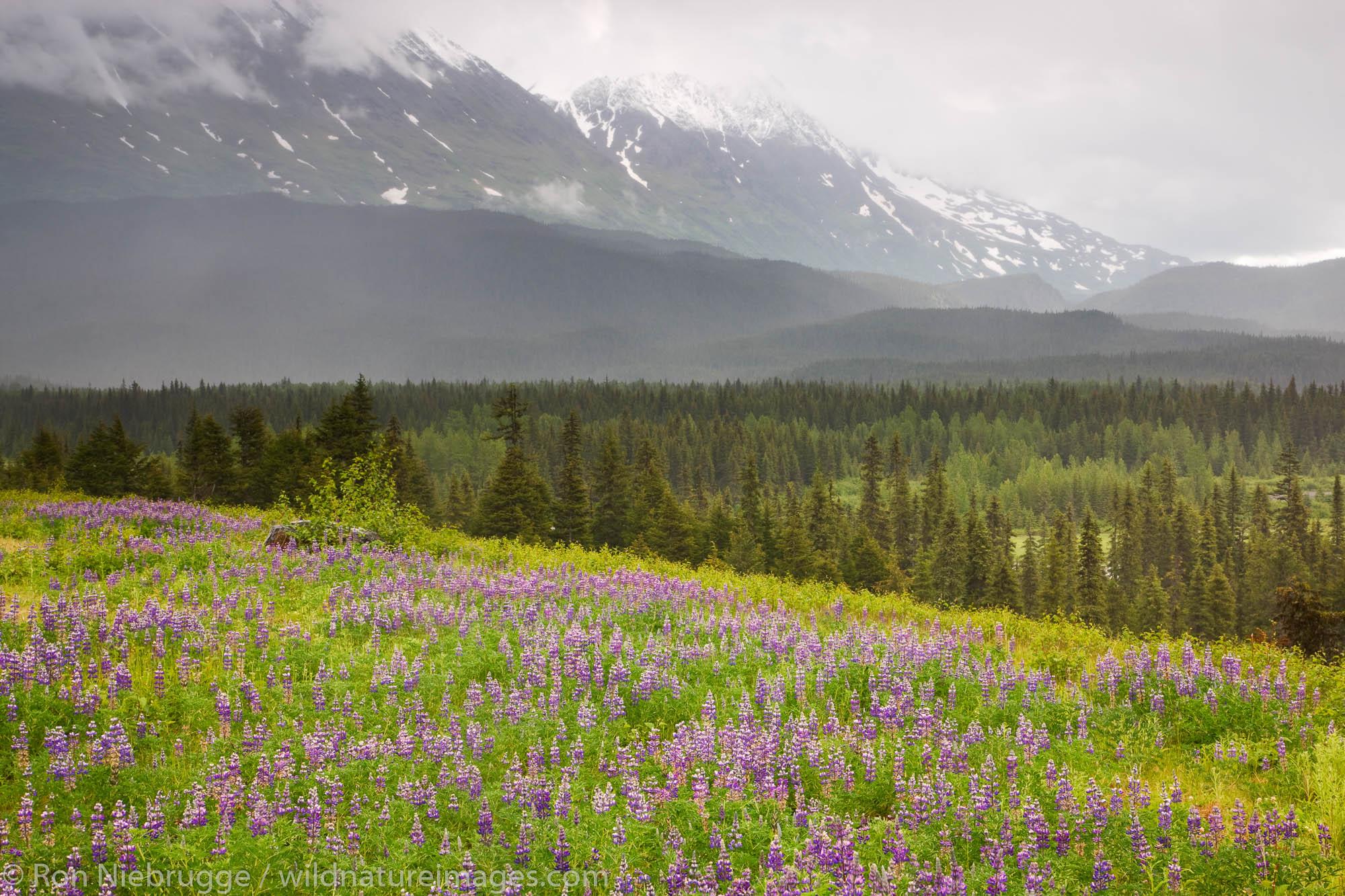 A field of lupine near Paradise Valley, Chugach National Forest, near Seward, Alaska.