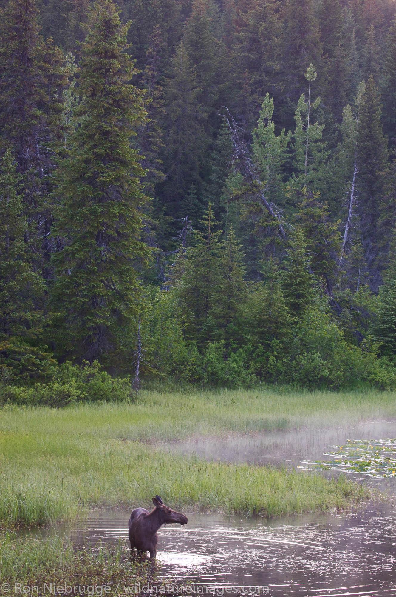A young moose, Chugach National Forest, Alaska.