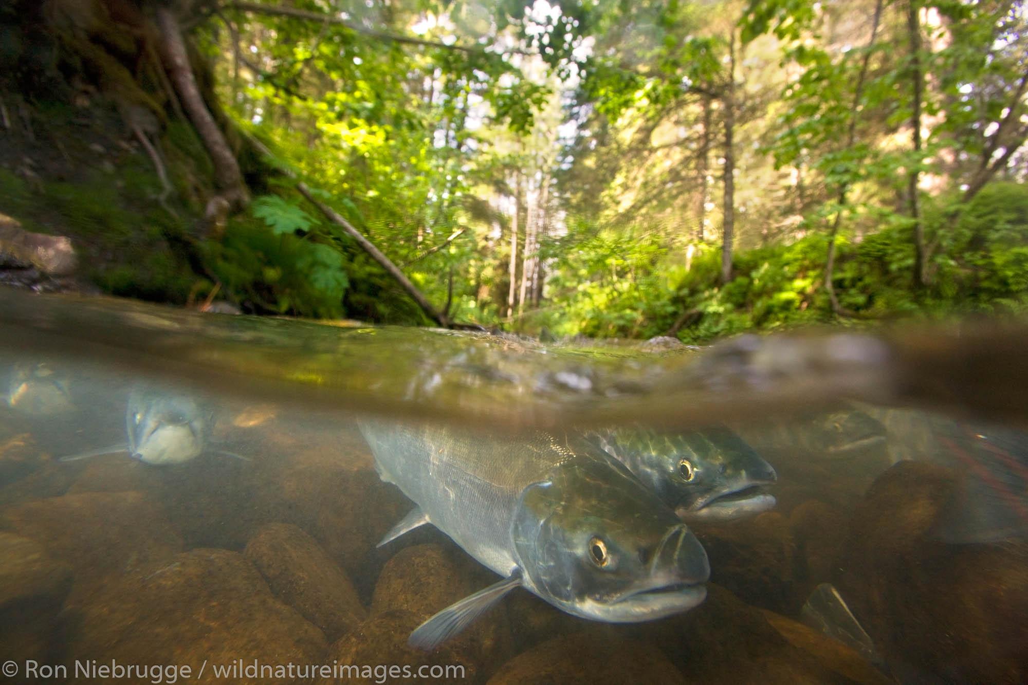Red Salmon in a stream, Chugach National Forest, Seward, Alaska.