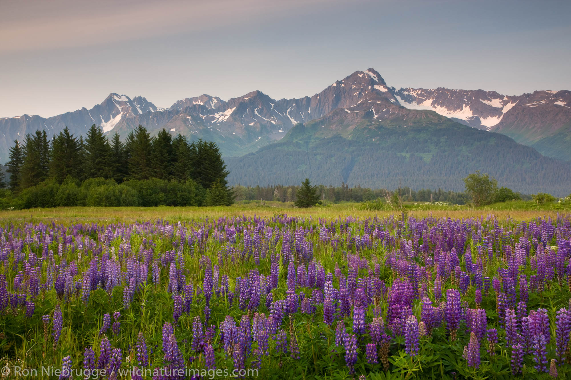 A field of lupine and Mt. Alice, part of the Chugach National Forest, from Seward, Alaska.