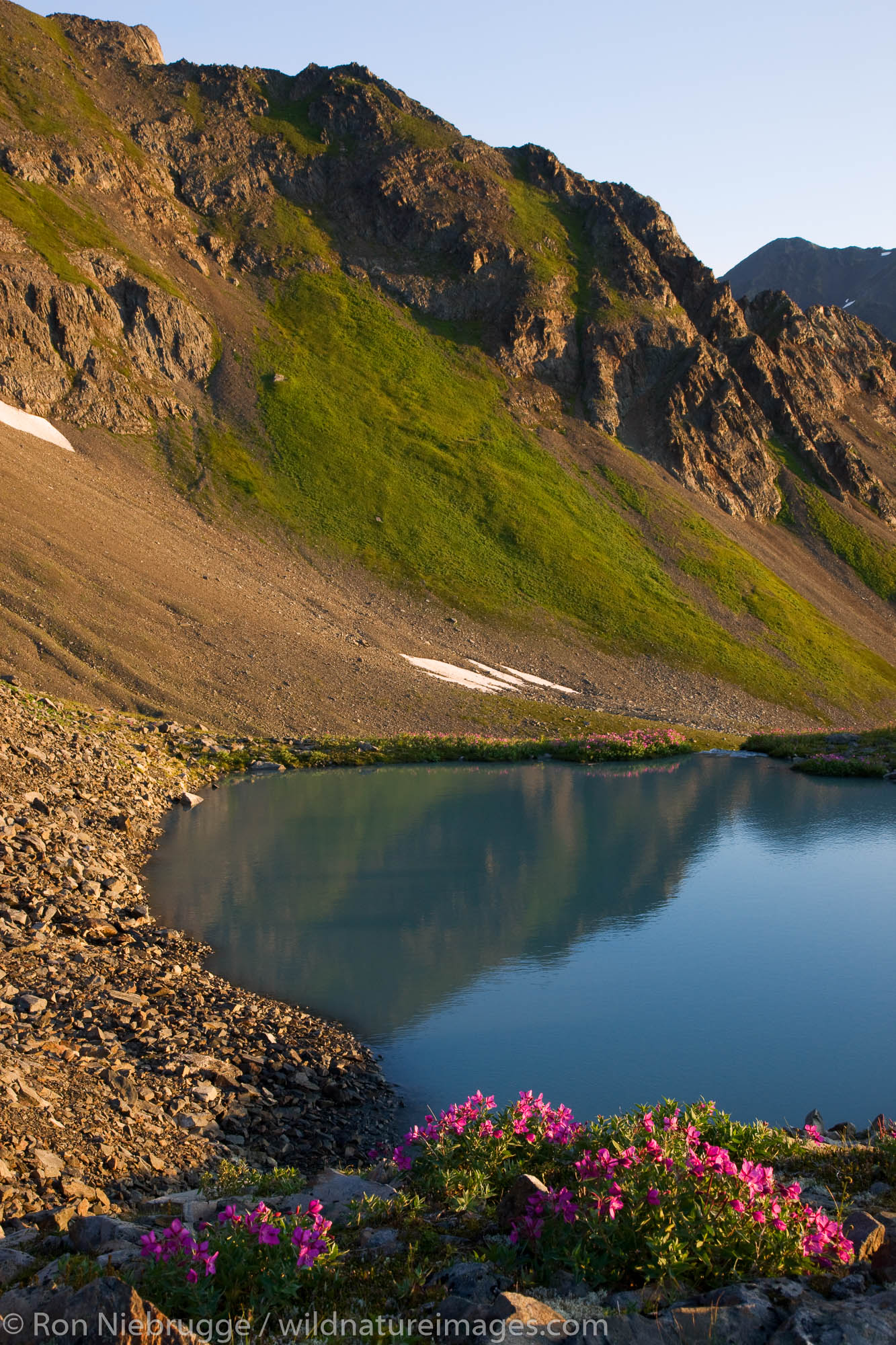 Wildflowers in the bowl area of Mt Marathon, Seward, Alaska.