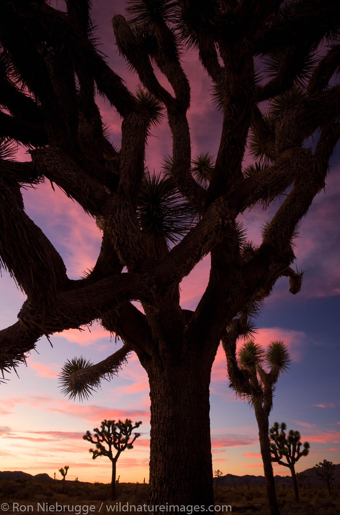 Joshua Tree at Joshua Tree National Park, California.