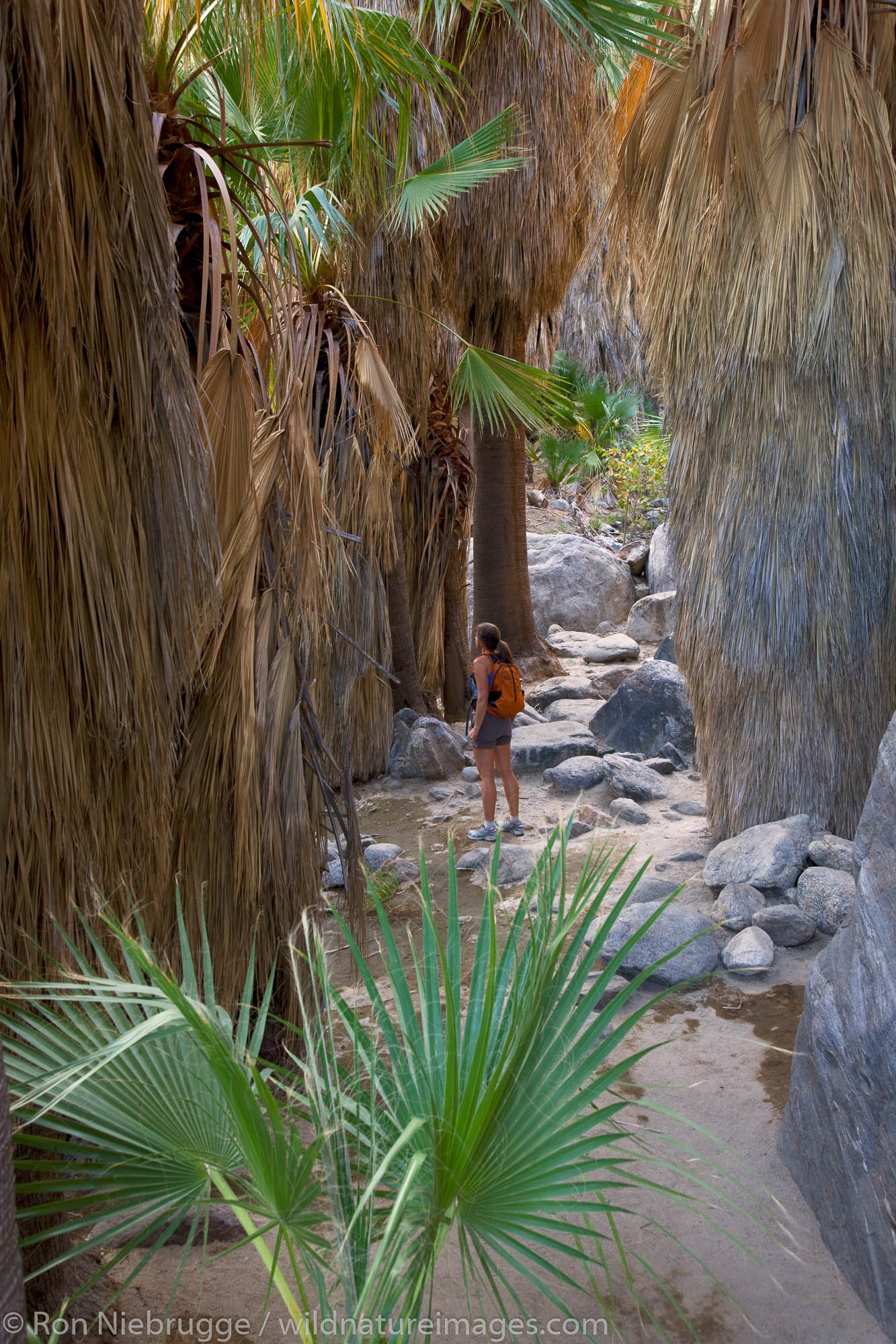 Hiking in Andreas Canyon, in the Indian Canyons of the Agua Caliente Indian Reservation, near Palm Springs, California. ( Model...