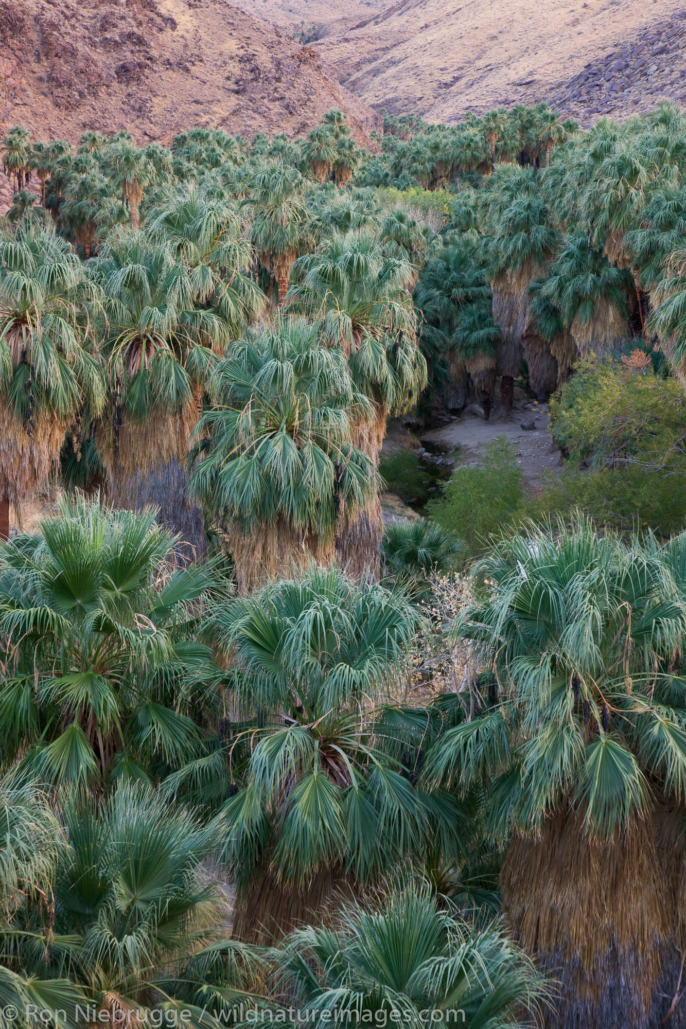 Palm Canyon, part of the Indian Canyons in the Agua Caliente Indian Reservation, near Palm Springs, California.