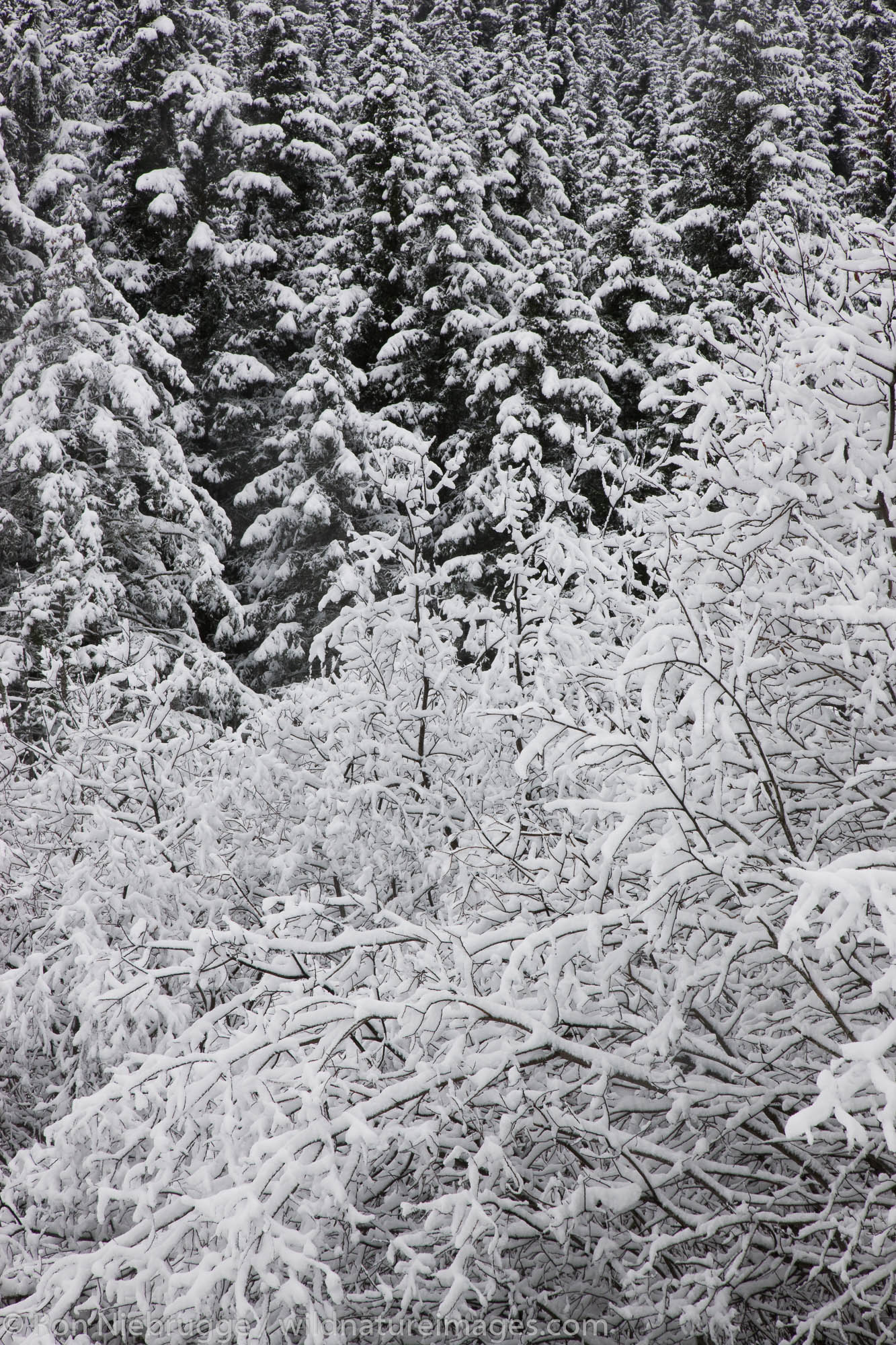 Winter trees, Seward, Alaska.