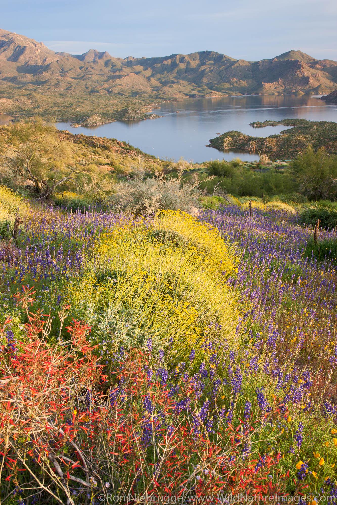 Wildflowers along Bartlett Lake, Tonto National Forest, near Phoenix, Arizona.