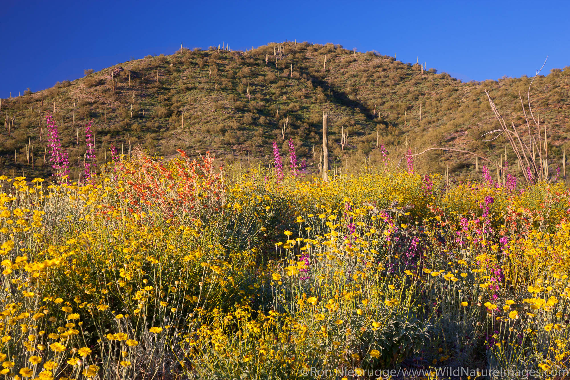 Spring wildflowers, Tonto National Forest, East of Phoenix, Arizona.