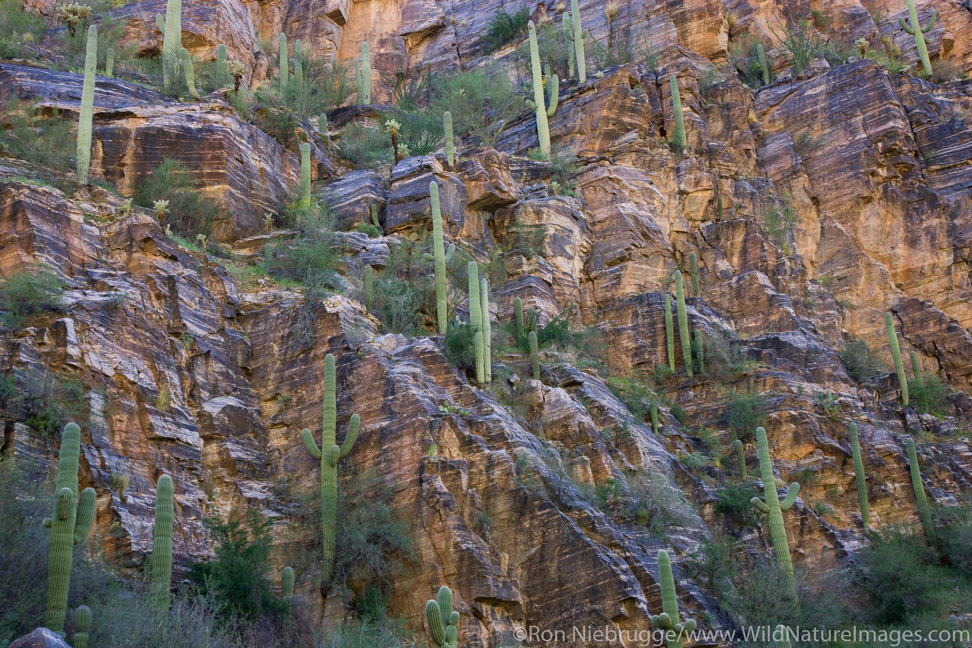 Saguaro Cactus, Sabino Canyon Recreation Area, Tucson, Arizona.