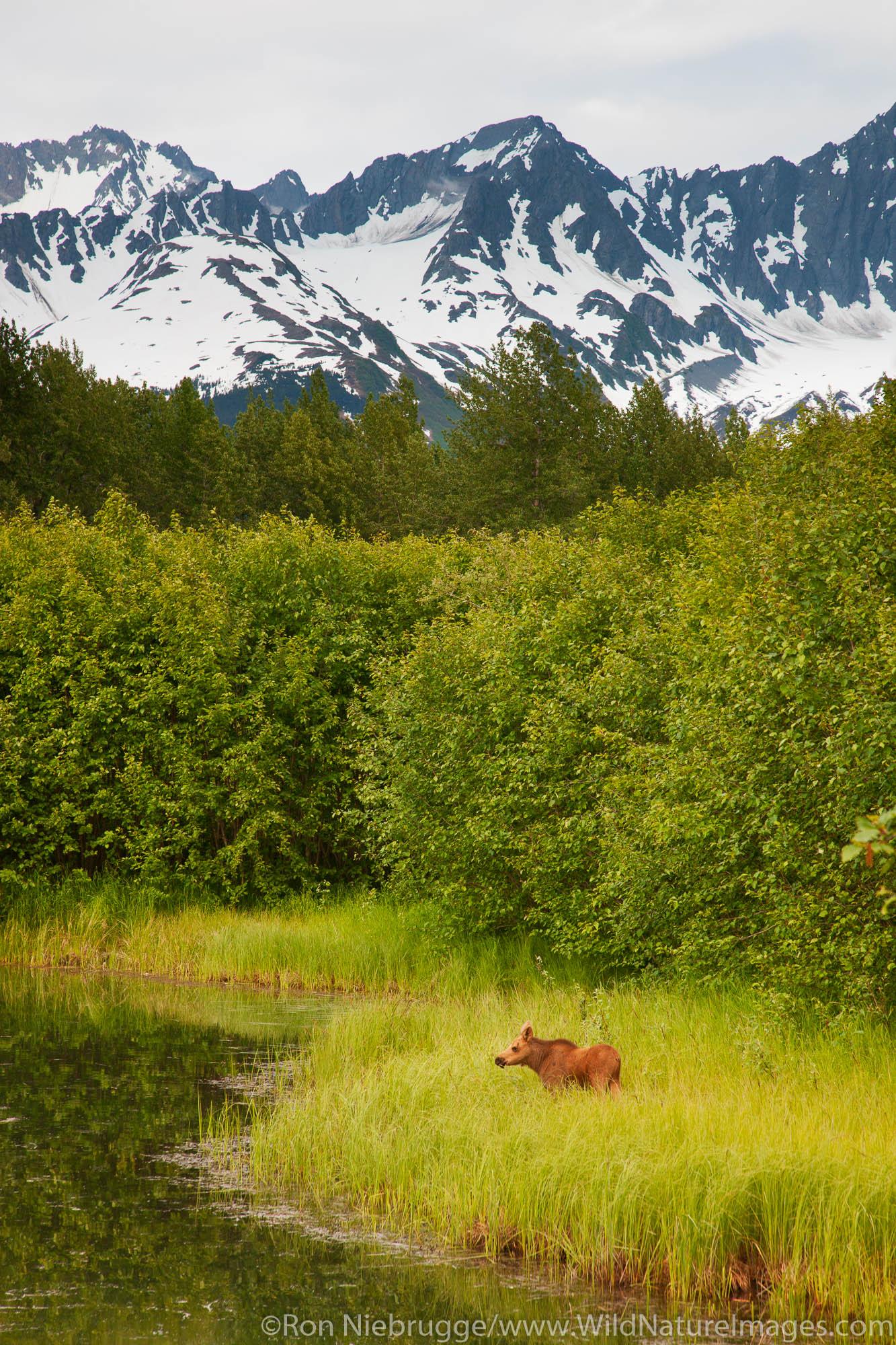 Young moose calf, Chugach National Forest, Seward,  Alaska.