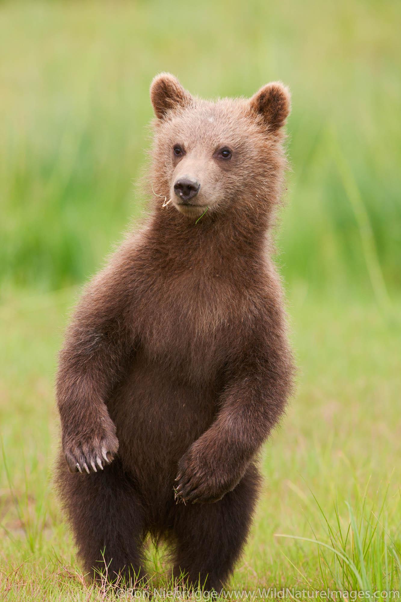 A Brown or Grizzly Bear cub, Lake Clark National Park, Alaska.
