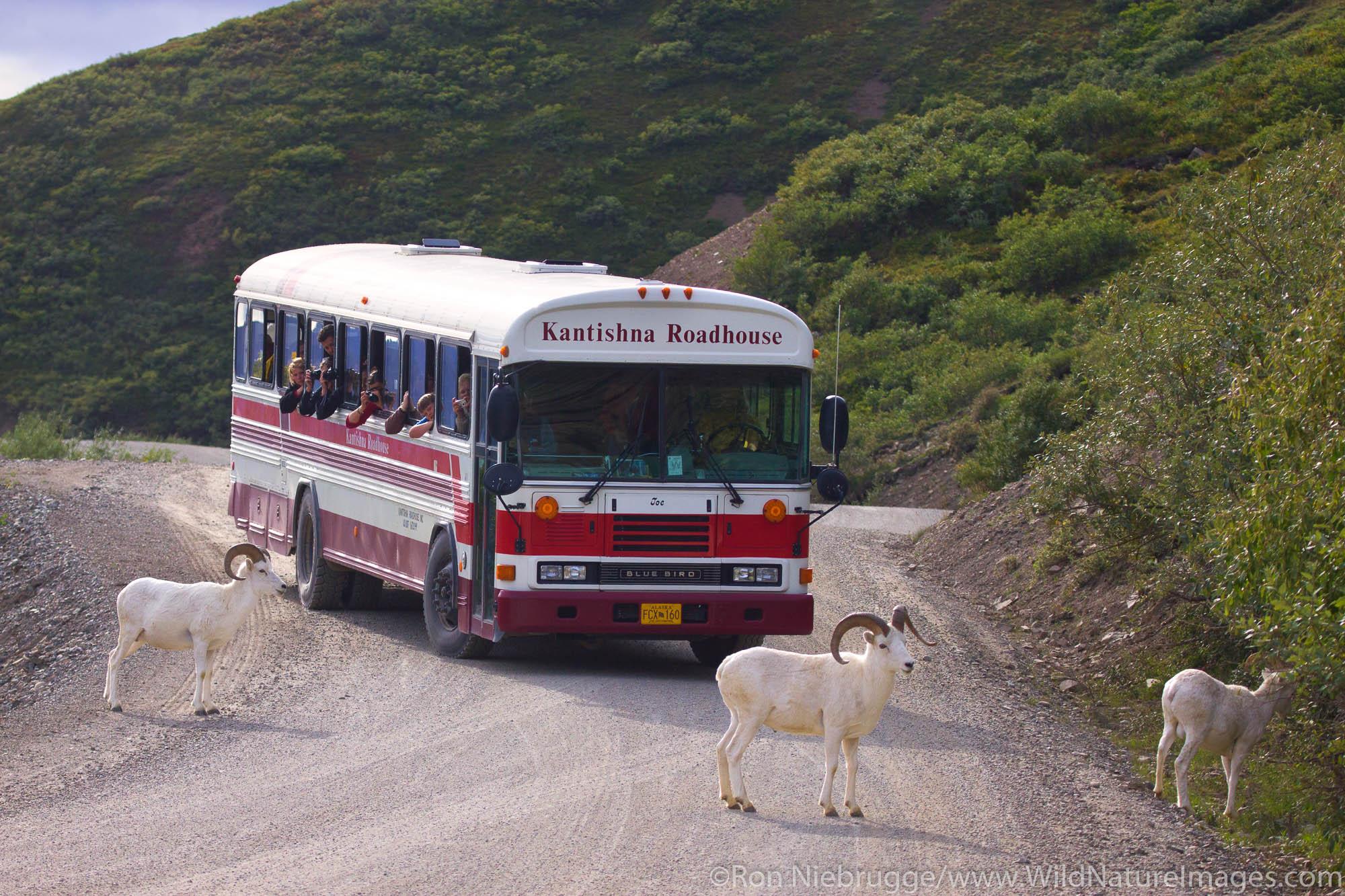 Kantishna Roadhouse bus and Dall's Sheep, Denali National Park, Alaska.