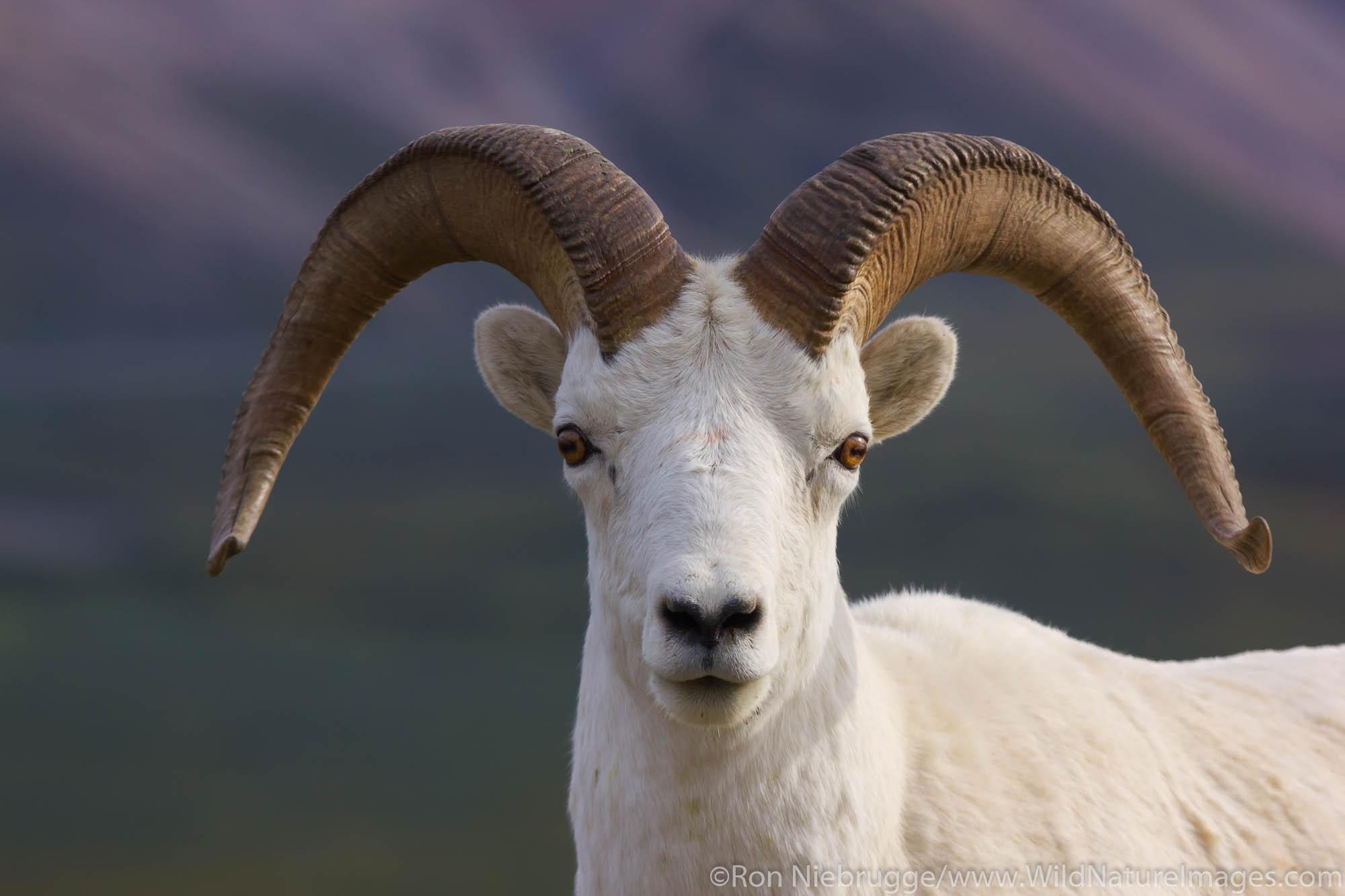 Dall's Sheep, Denali National Park, Alaska.
