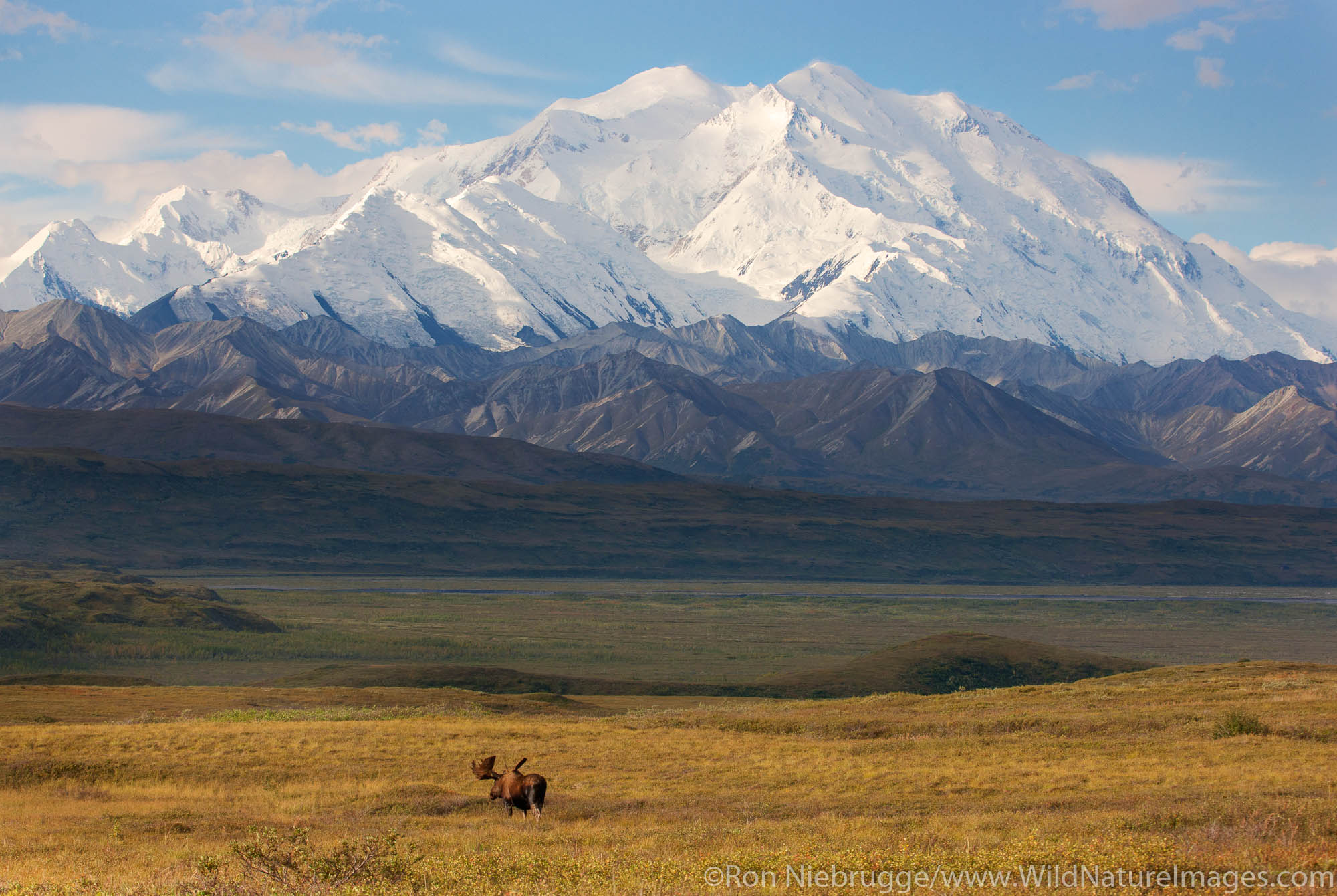 Bull moose in front of Mt. McKinley, Denali National Park, Alaska.