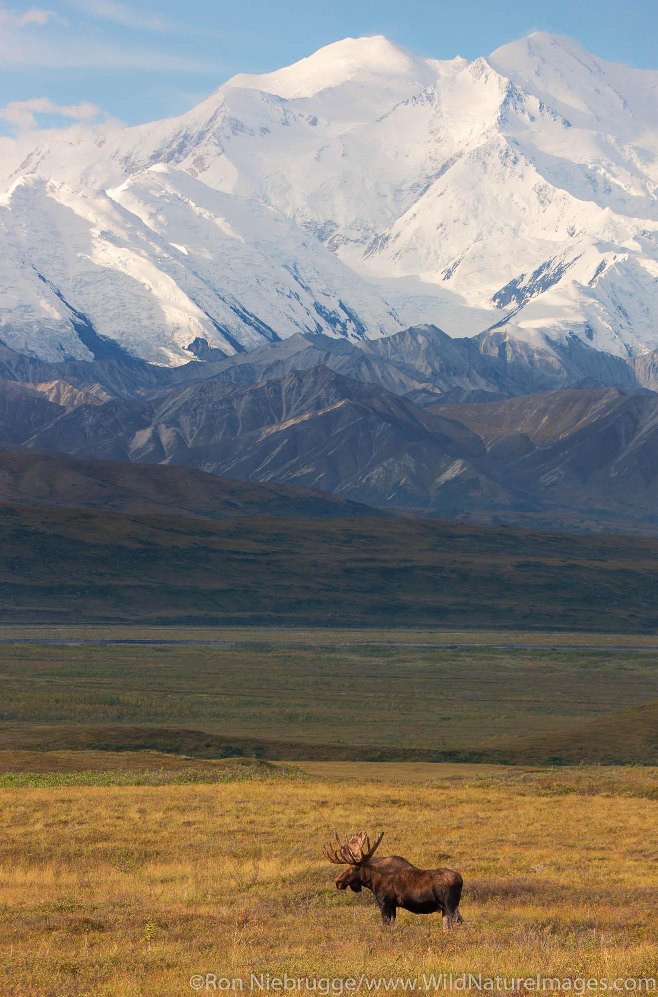 Bull moose in front of Mt. McKinley, Denali National Park, Alaska.