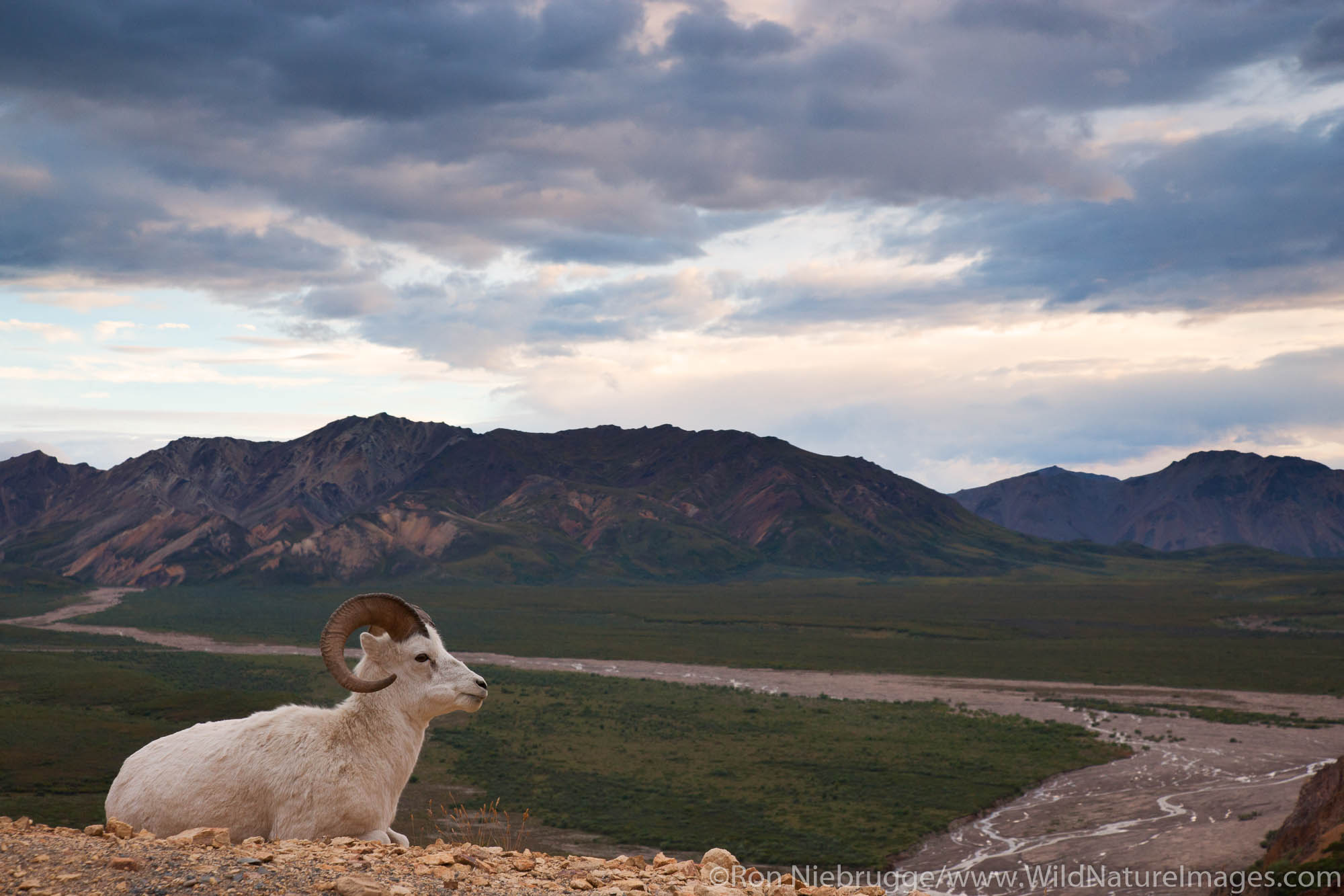 Dall's Sheep, Polychrome Pass, Denali National Park, Alaska.