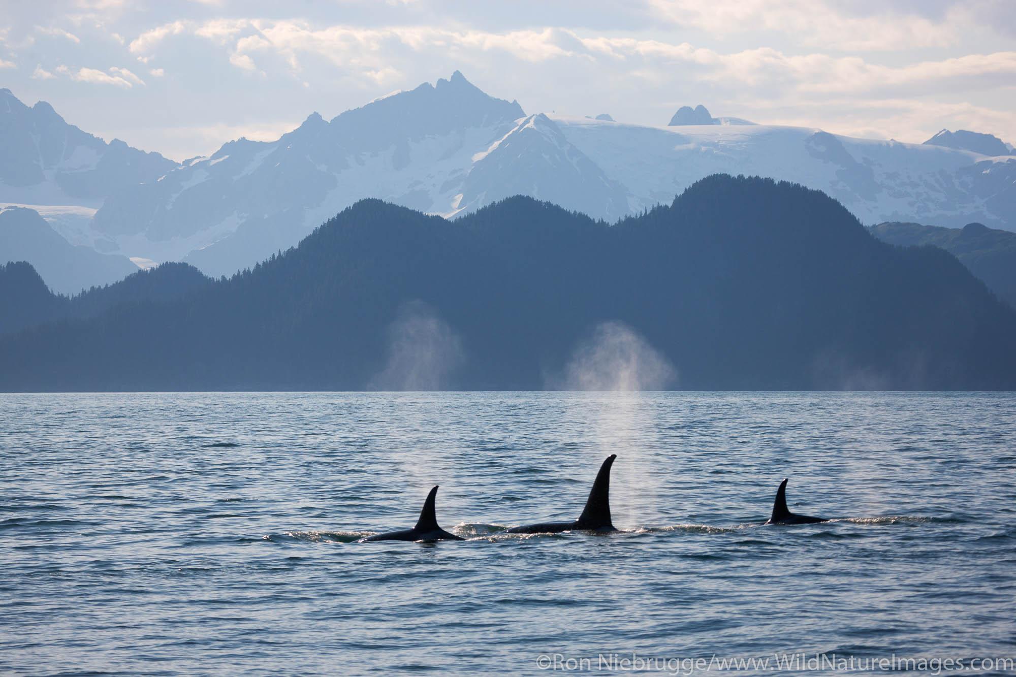 Orca or Killer Whale, Kenai Fjords National Park, near Seward, Alaska.