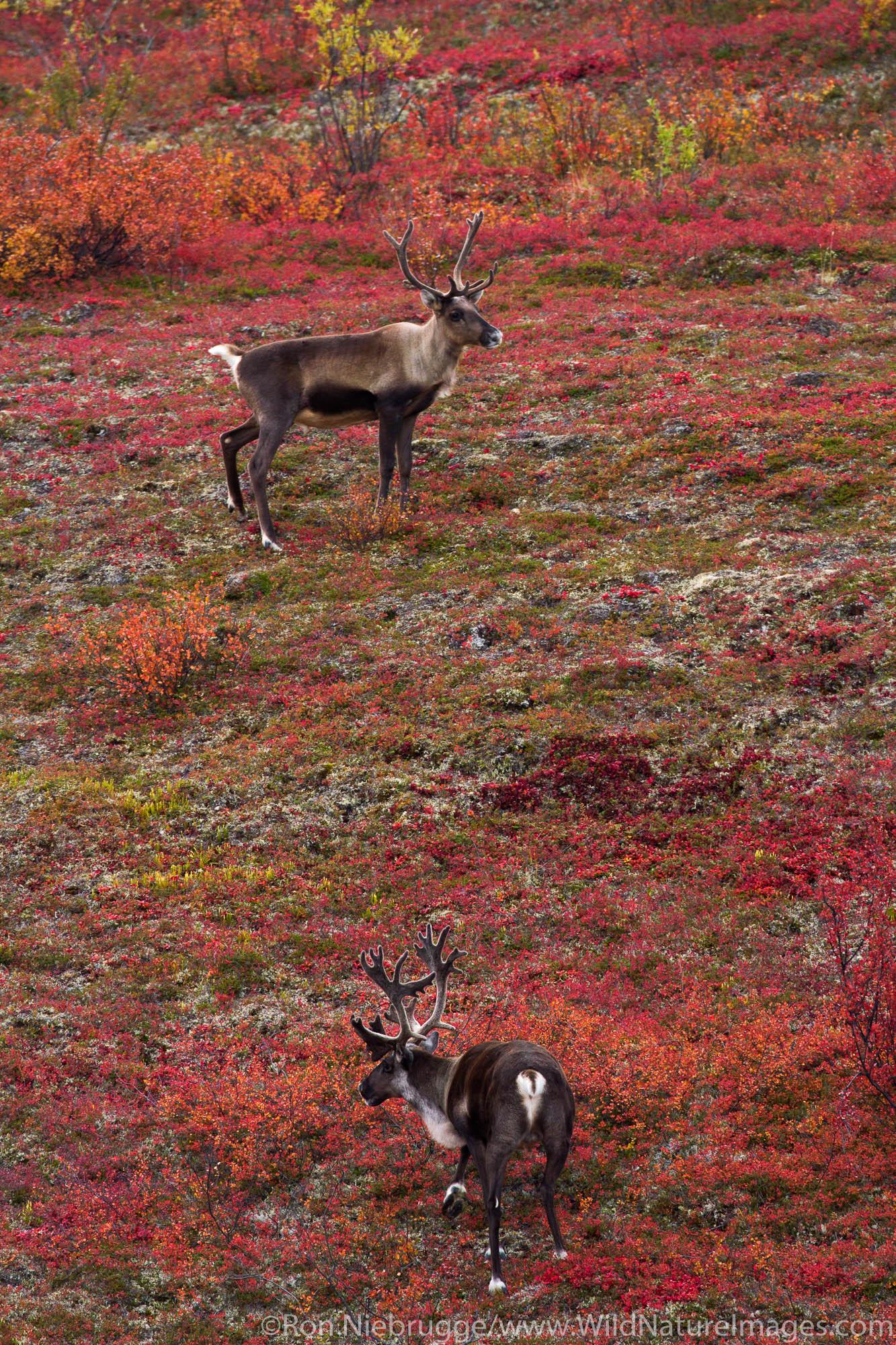 Caribou, Denali Highway, Alaska.