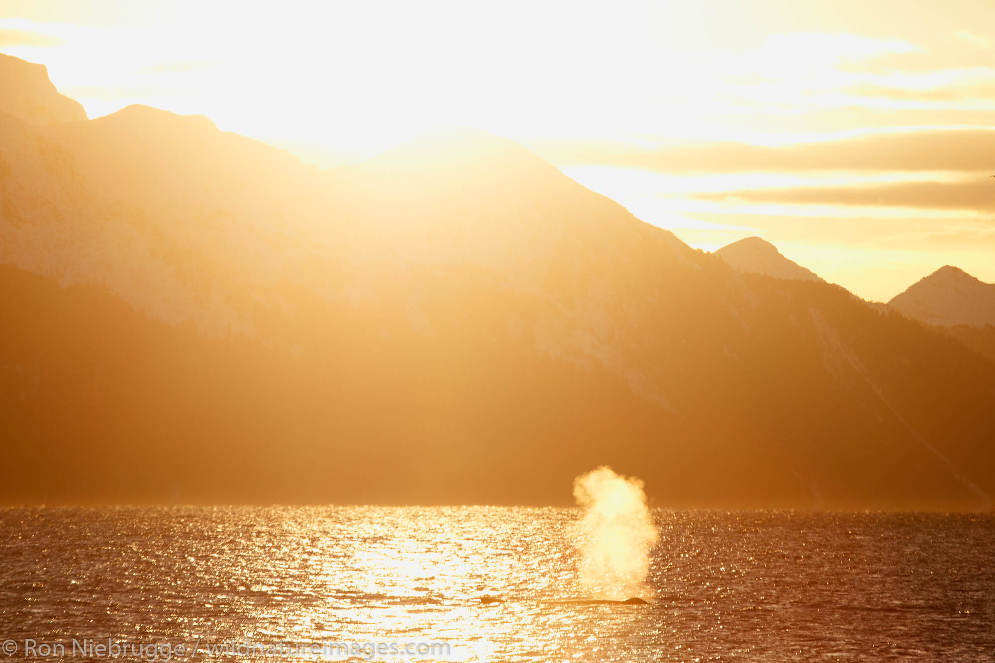 Humpback whale in Resurrection Bay, Seward, Alaska.