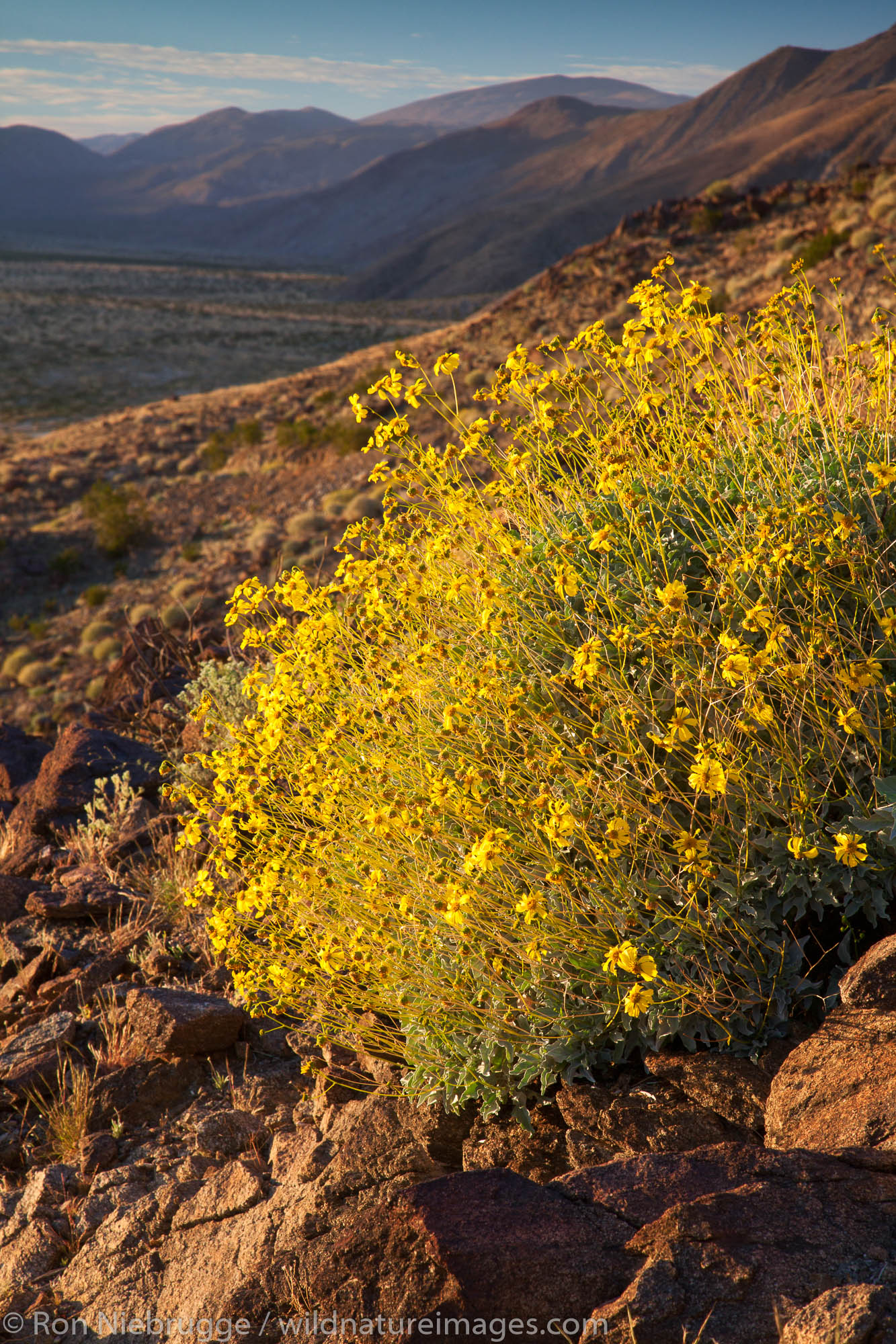 Brittlebush wildflowers, Anza-Borrego Desert State Park, California.