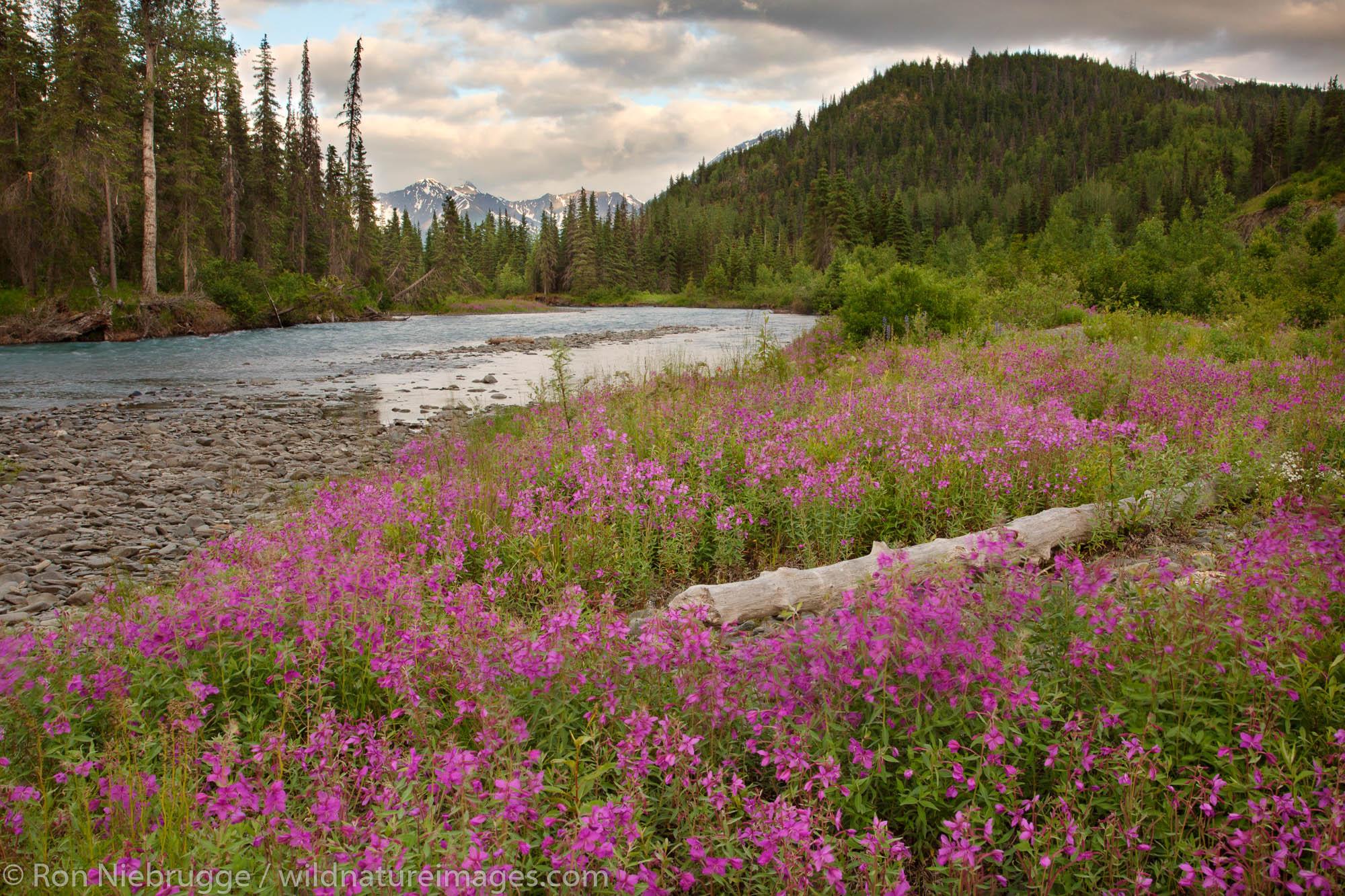 Fireweed along Six Mile Creek, Chugach National Forest, Alaska.