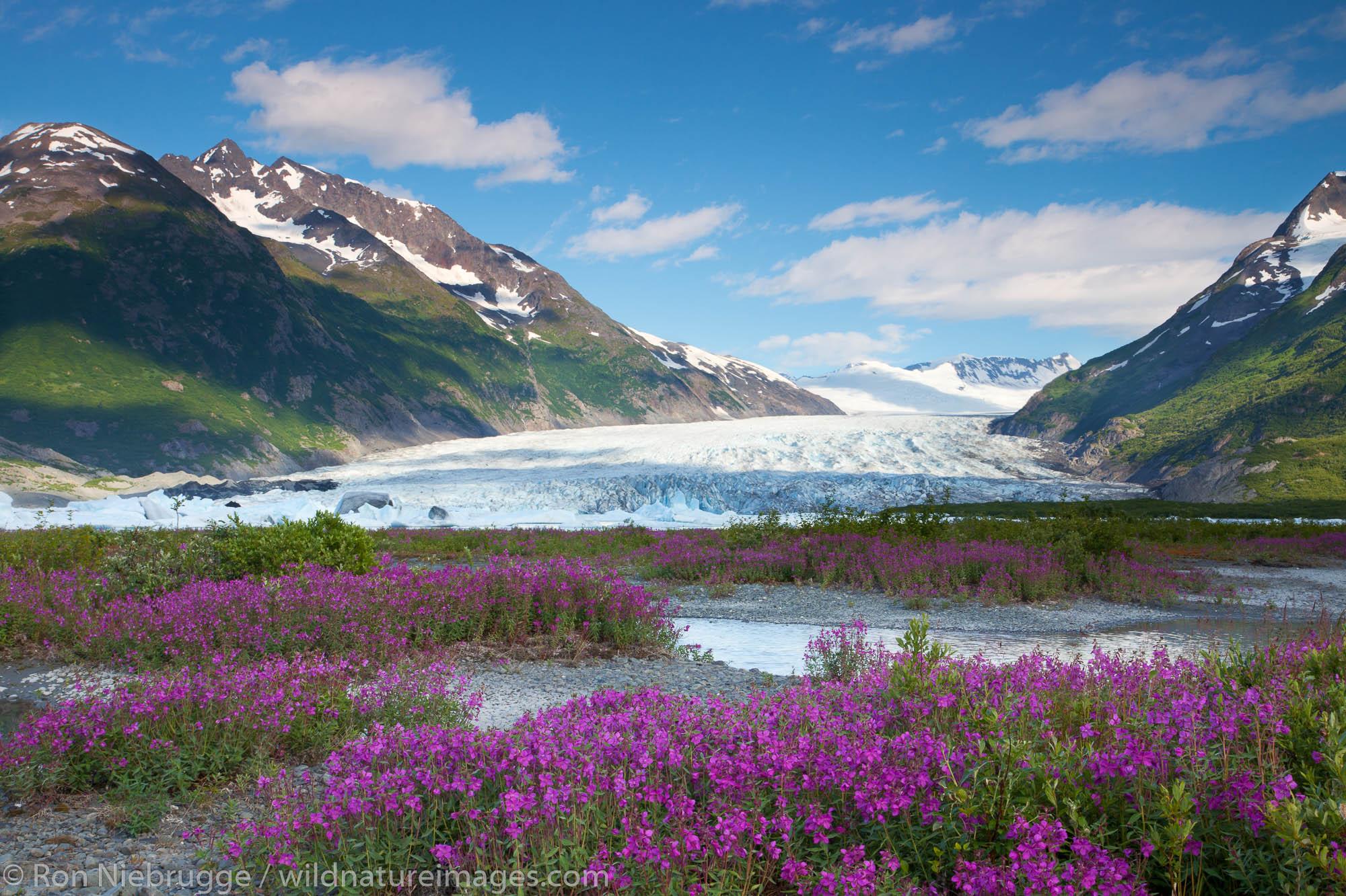 Wildflowers at Spencer Glacier, Chugach National Forest, Alaska.