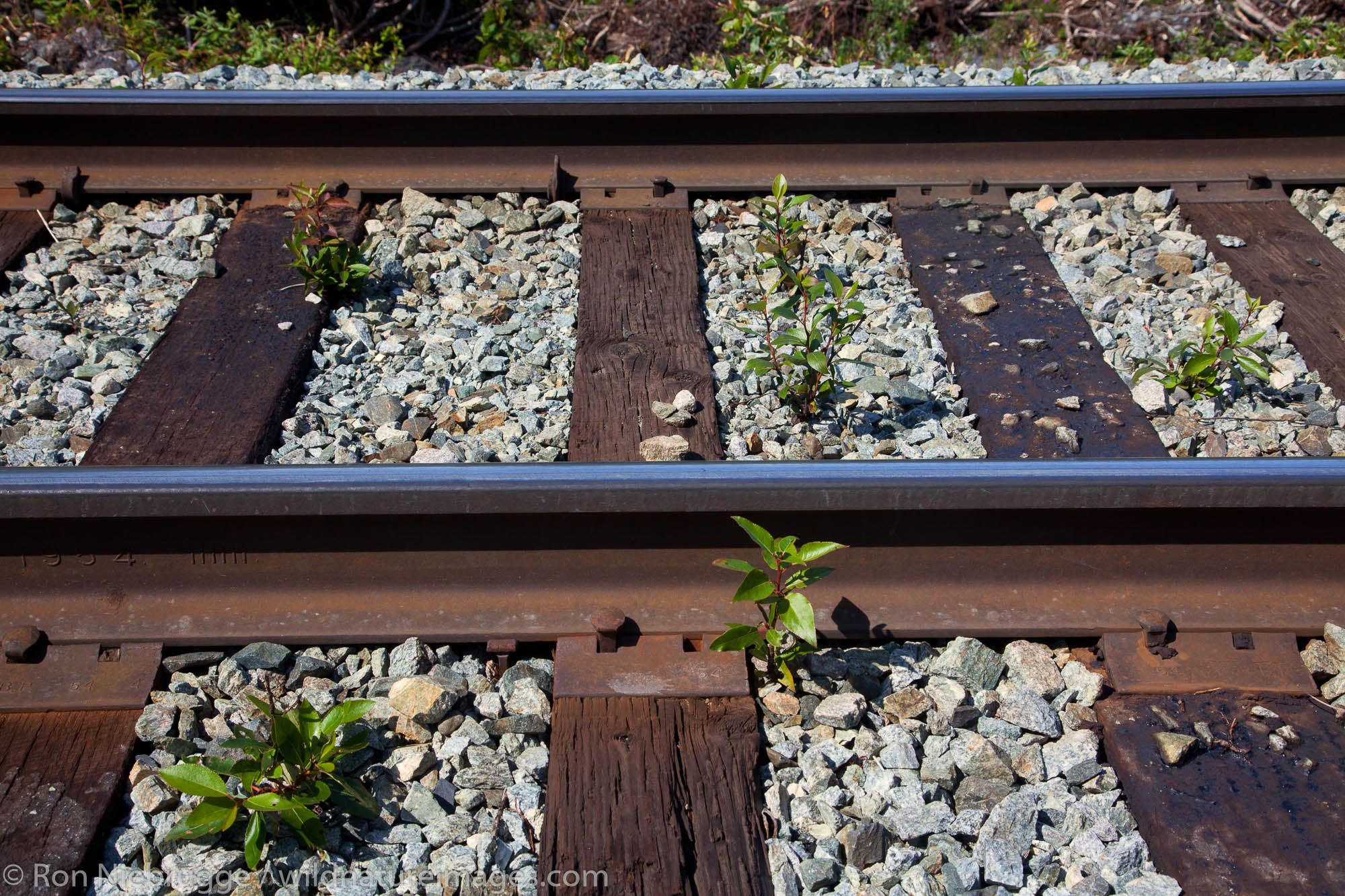 Plants growning in the tracks of the Alaska Railroad to Spencer Glacier, Chugach National Forest, Alaska.