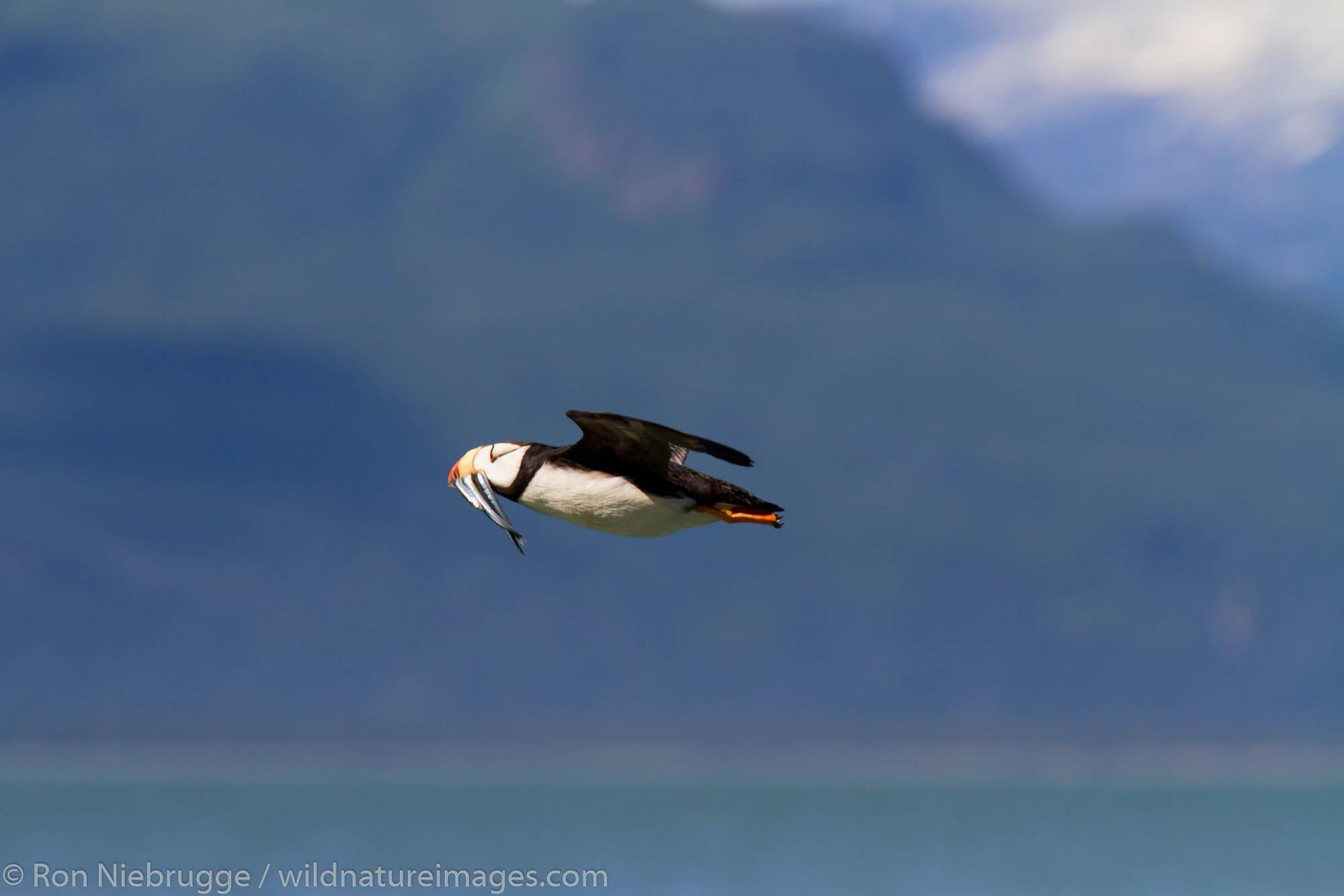 Horned puffin in flight, near Lake Clark National Park, Alaska.