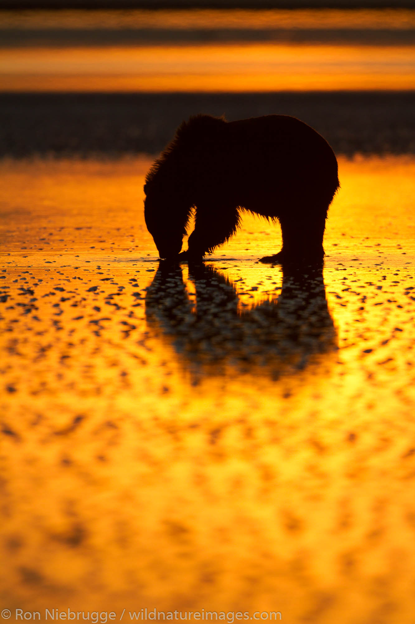 Brown / Grizzly Bear looking for clams at sunrise, Lake Clark National Park, Alaska.