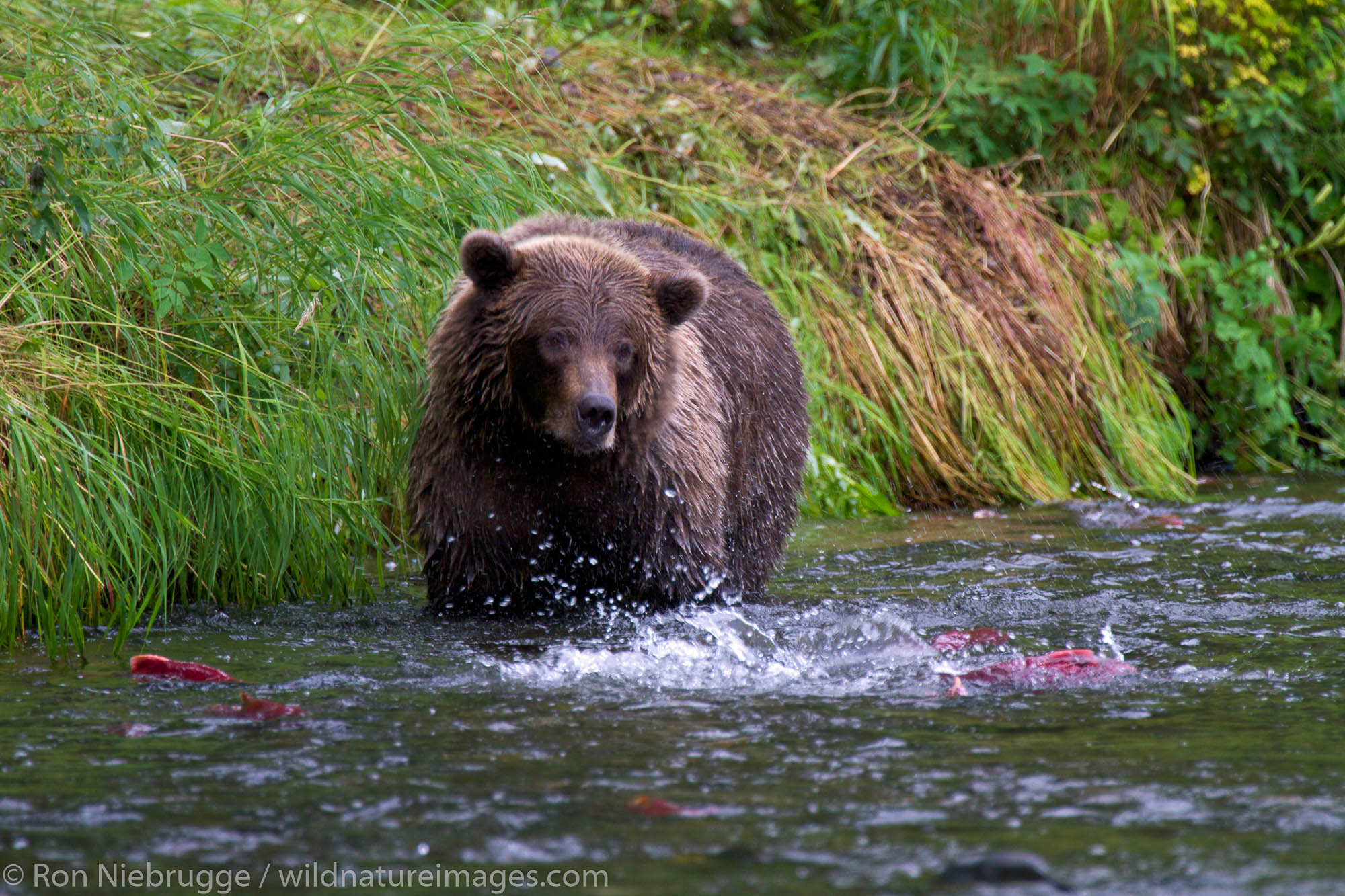 A Brown or Grizzly Bear, Chugach National Forest, near Seward, Alaska.