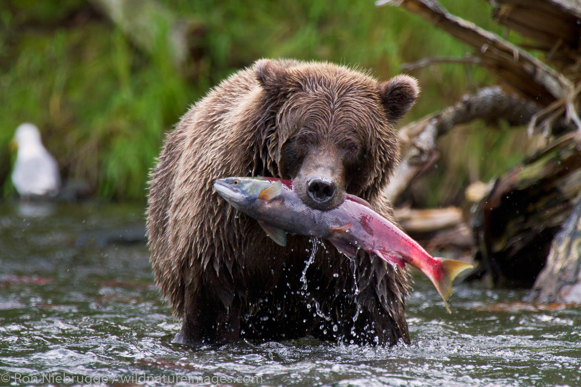 A Brown or Grizzly Bear with a red salmon, Chugach National Forest, Alaska.