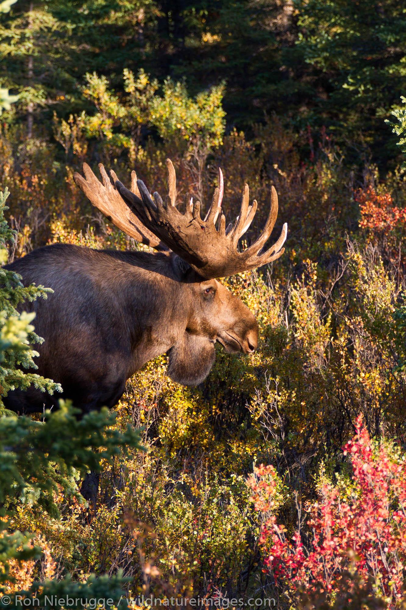 Bull moose, Denali National Park, Alaska.