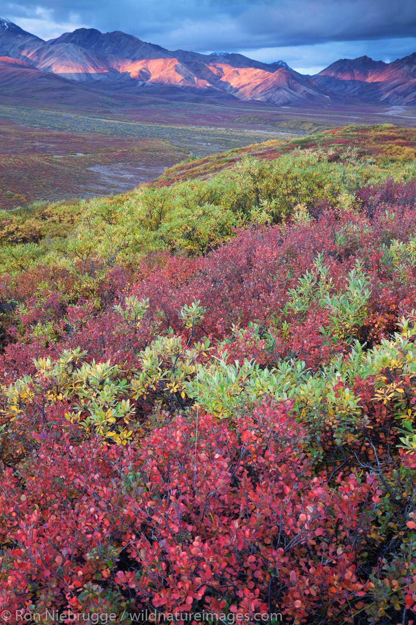 Fall colors in Polychrome Pass, Denali National Park, Alaska.