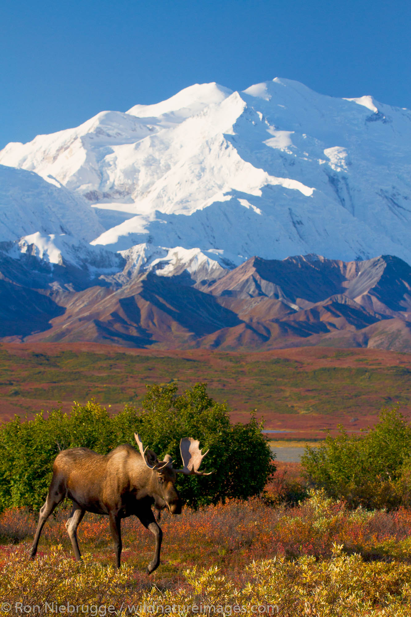 Bull moose in front of Mt McKinley, also called Denali, Denali National Park, Alaska.
